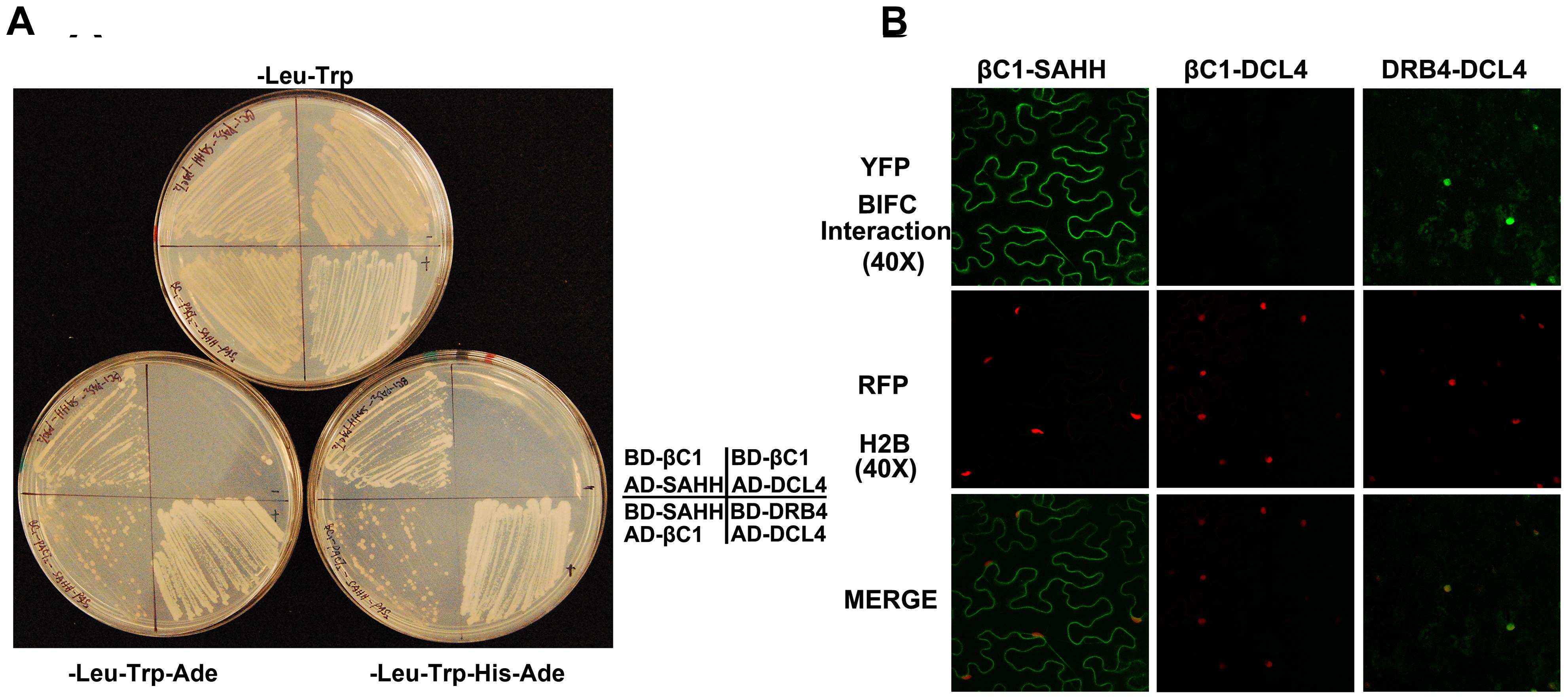 βC1 protein interacts with SAHH.