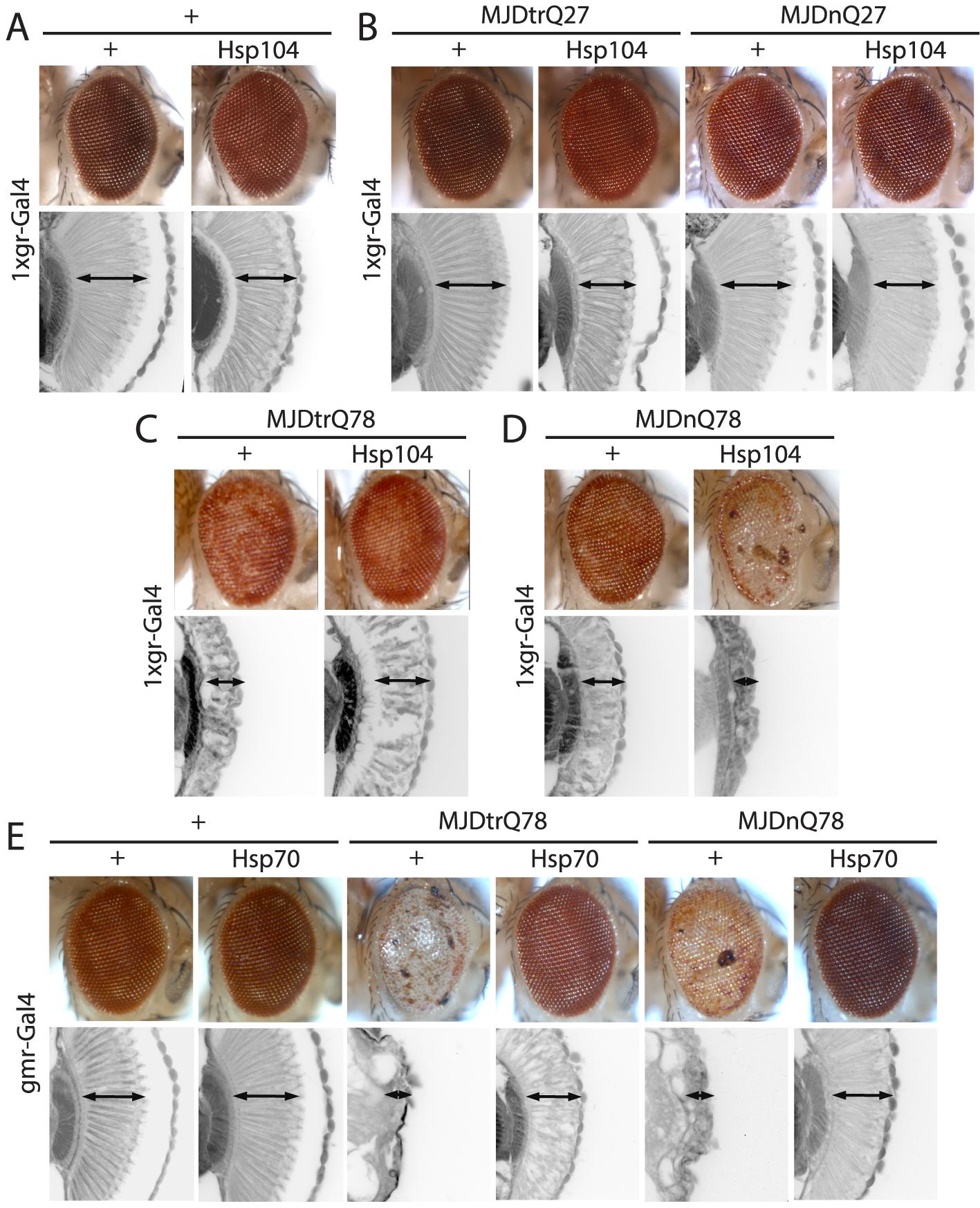 Hsp104 mitigates toxicity of Truncated MJD but enhances toxicity of Full-length MJD.