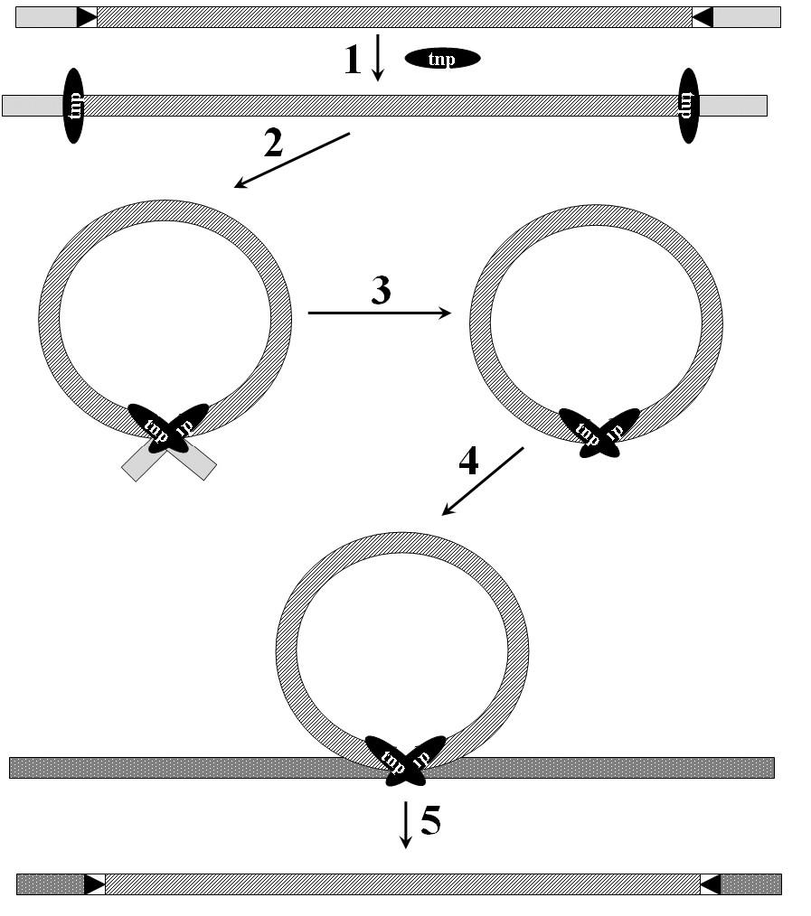Transpozice transpozonu. Transpozon je znázorněn šrafovaně, tnp – transposáza, 1 – vazba transposázy na invertované repetice, 2 – synapse, 3 - excize, 4,5 – vazba transpozonu do recipientní molekuly. Podle [65]. <b>Fig. 6.</b> Transposition of the transposon. Transposon is shaded, tnp – transposase, 1 – binding of transposase to the terminal inverted repeats, 2 – synapsis, 3 - excision, 4,5 – transposon inserted into the recipient molecule. According to [65].