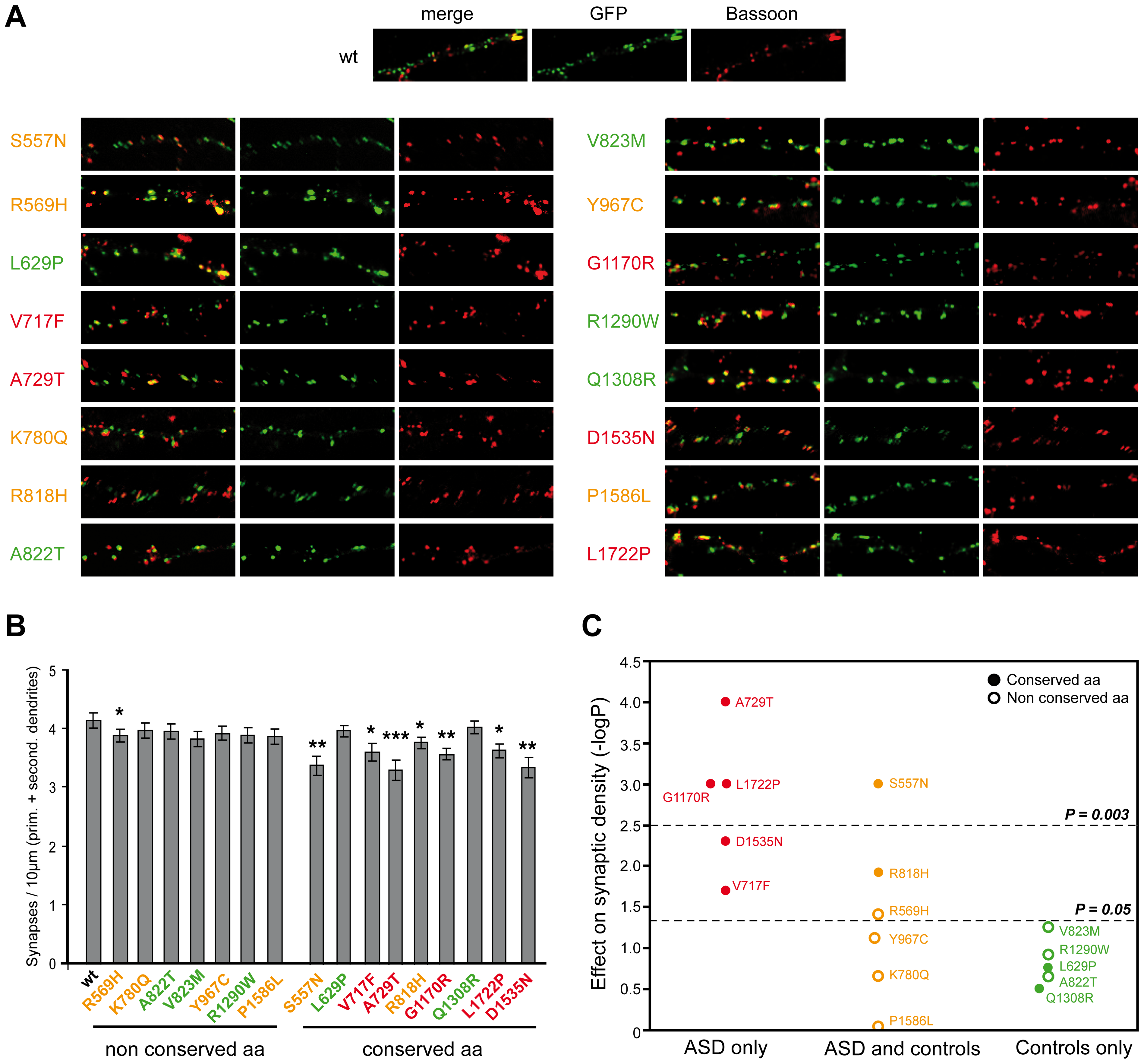 Characterization of the functional impact of <i>SHANK2</i> mutations in cultured neuronal cells.