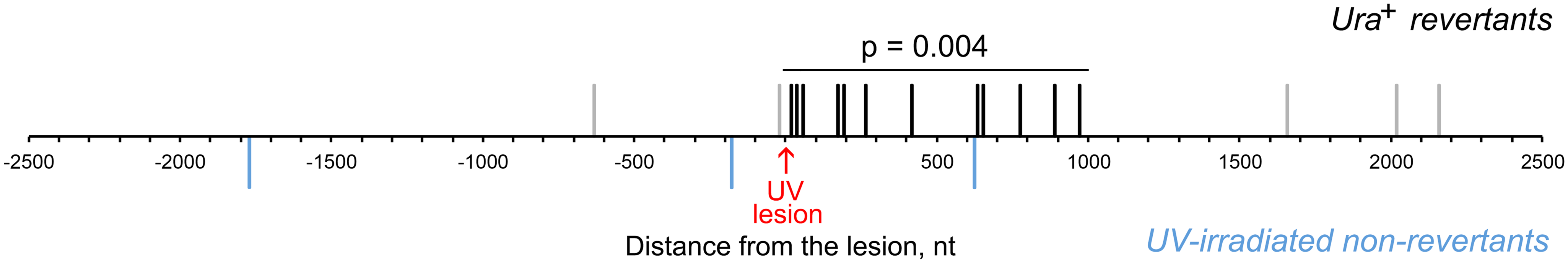 UV lesion bypass is associated with increased mutagenesis downstream of the lesion.