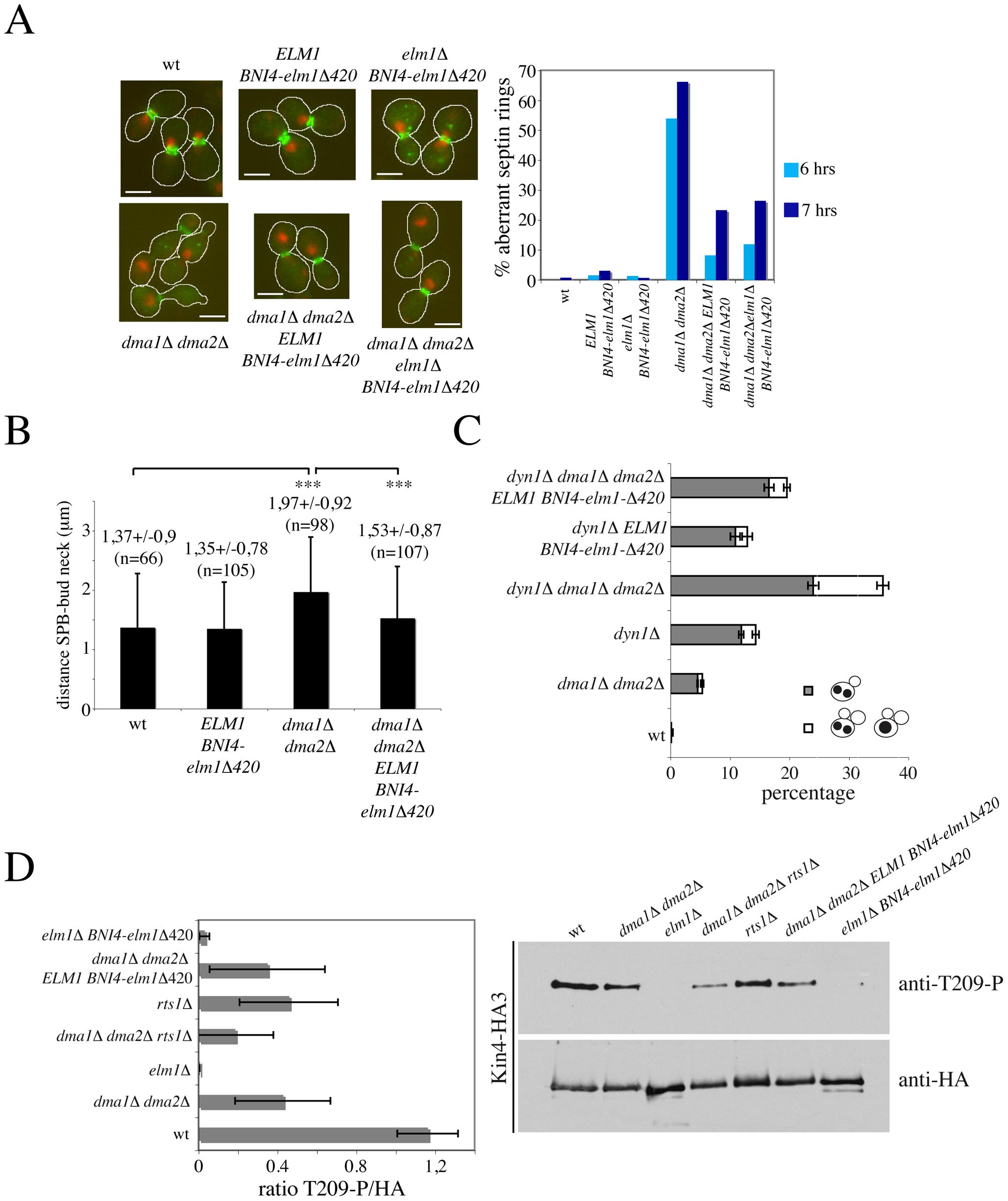 Restoring Elm1 localization at the bud neck of <i>dma1Δ dma2Δ</i> cells rescues their septin and SPOC defects without restoring Kin4 phosphorylation.