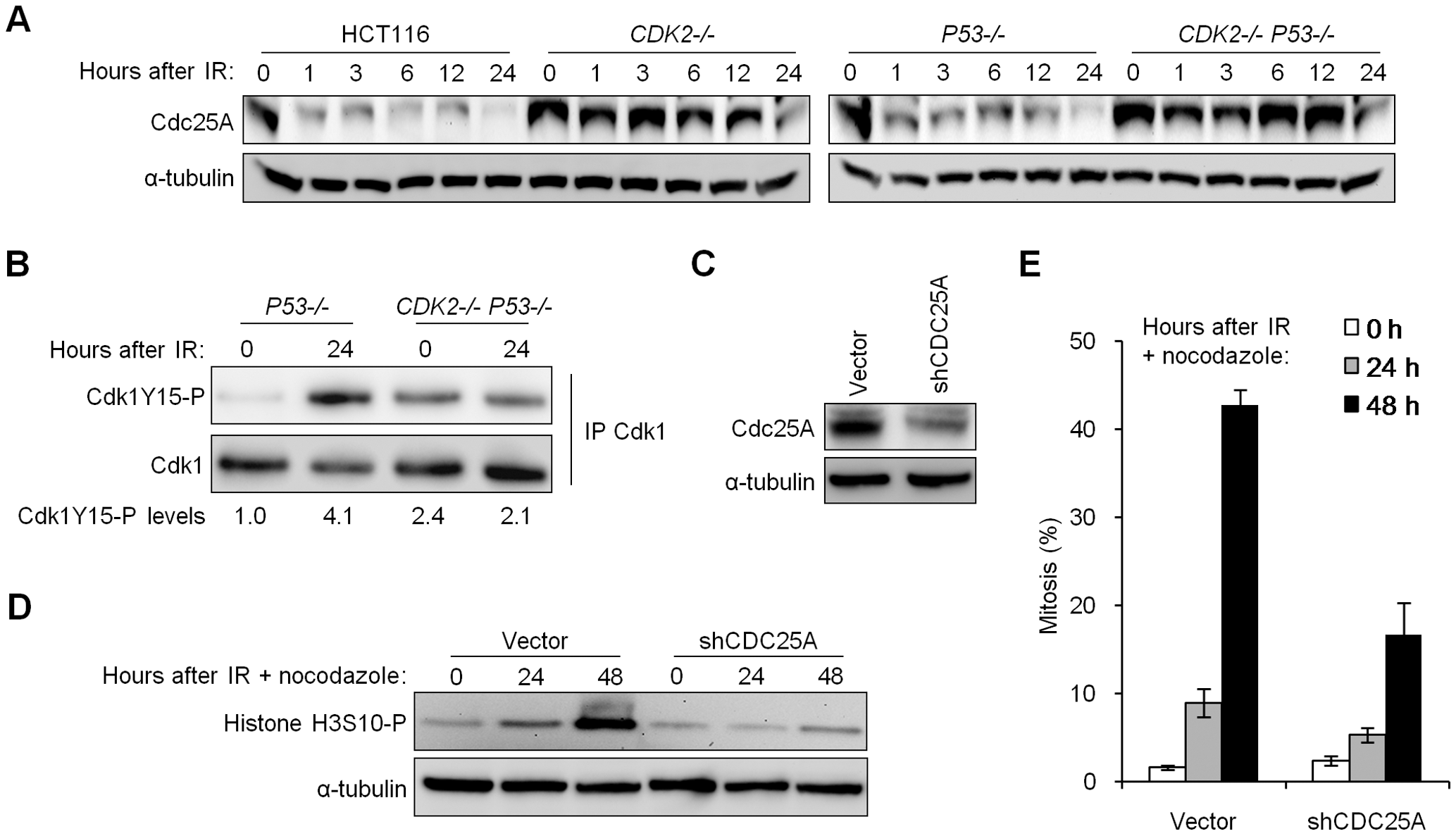 Impaired degradation of Cdc25A in Cdk2-deficient cells contributes to G<sub>2</sub>/M checkpoint defect.