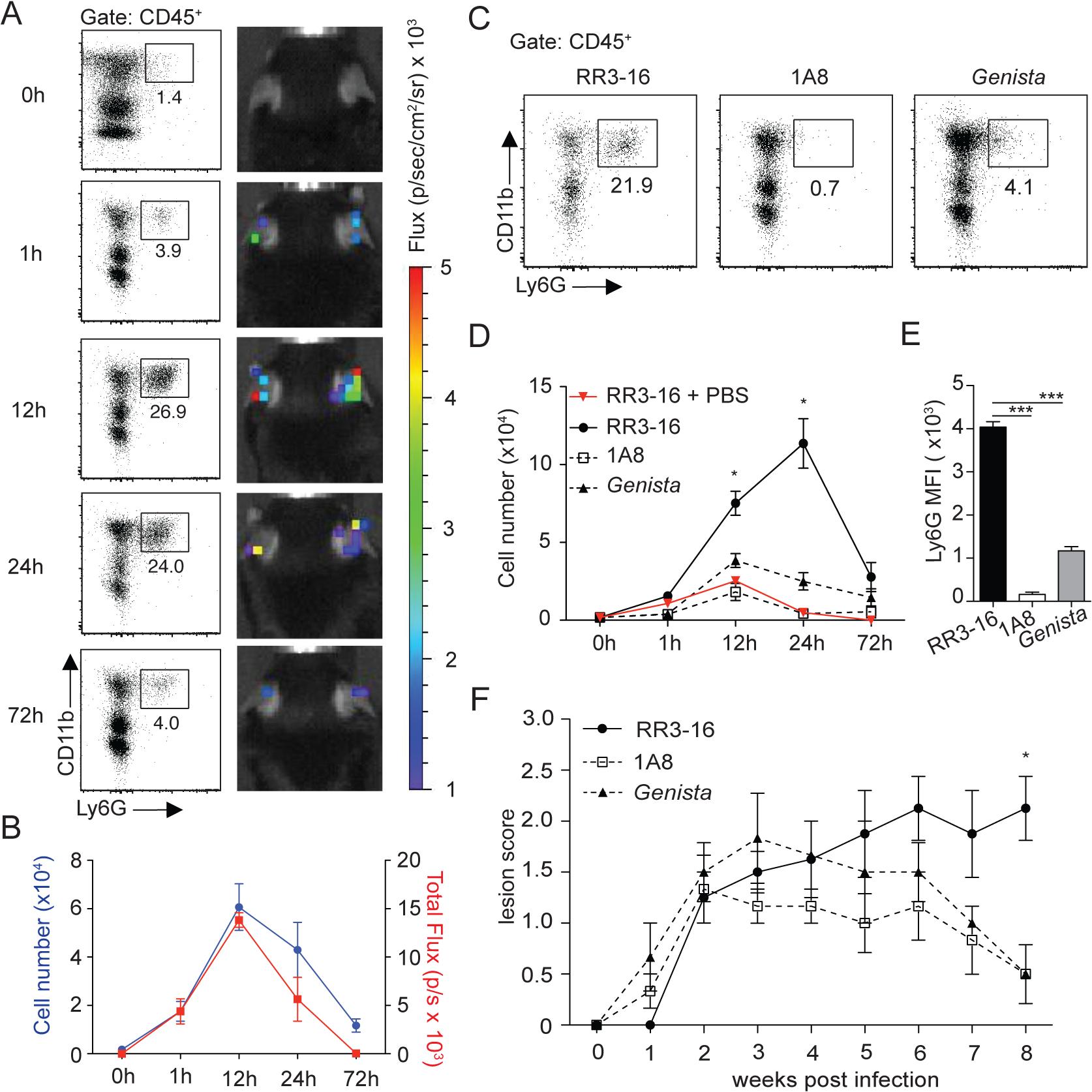 Kinetics of neutrophil recruitment and outcome on disease development following i.d. inoculation of <i>L</i>. <i>Mexicana</i>.