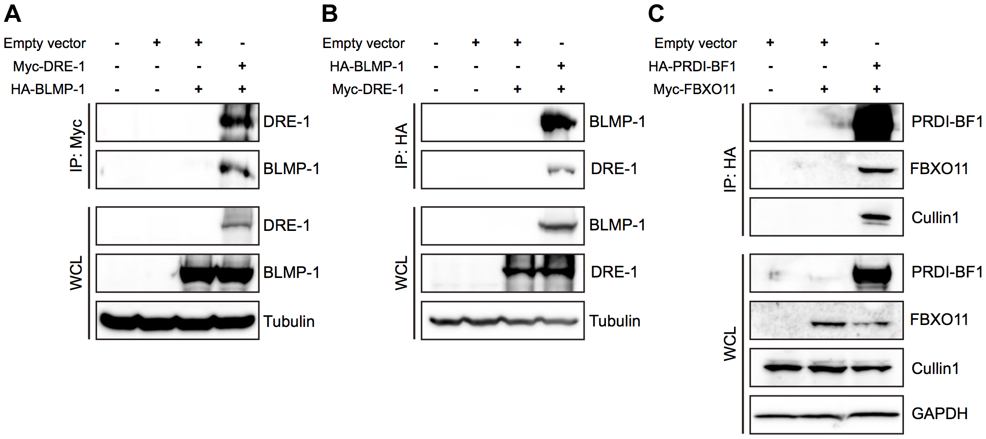 BLMP-1 and DRE-1 are co-immunoprecipitated in human cell cultures, as are their human orthologs PRDI-BF1 and FBXO11.