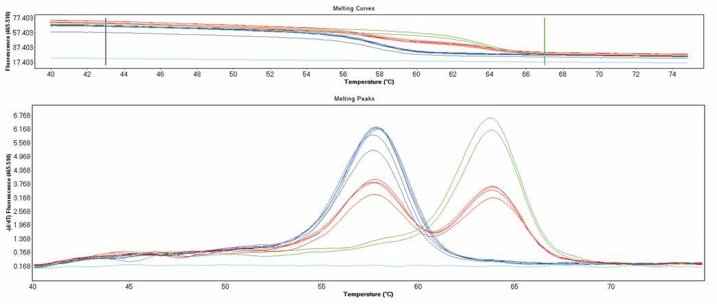Genotypizace pomocí křivek tání na přístroji LightCycler 480 II - polymorfizmus p.Val66Met v genu <i>BDNF</i>. Pík při 59 °C značí standardní alelu, pík při teplotě 64 °C značí mutantní alelu. Fig. 1. LightCycler 480 II melting curves genotyping analysis – p.Val66Met polymorphism in <i>BDNF</i> gene. Peak at melting temperature 59 °C indicates wild type allele, peak at 64 °C indicates mutant allele.
