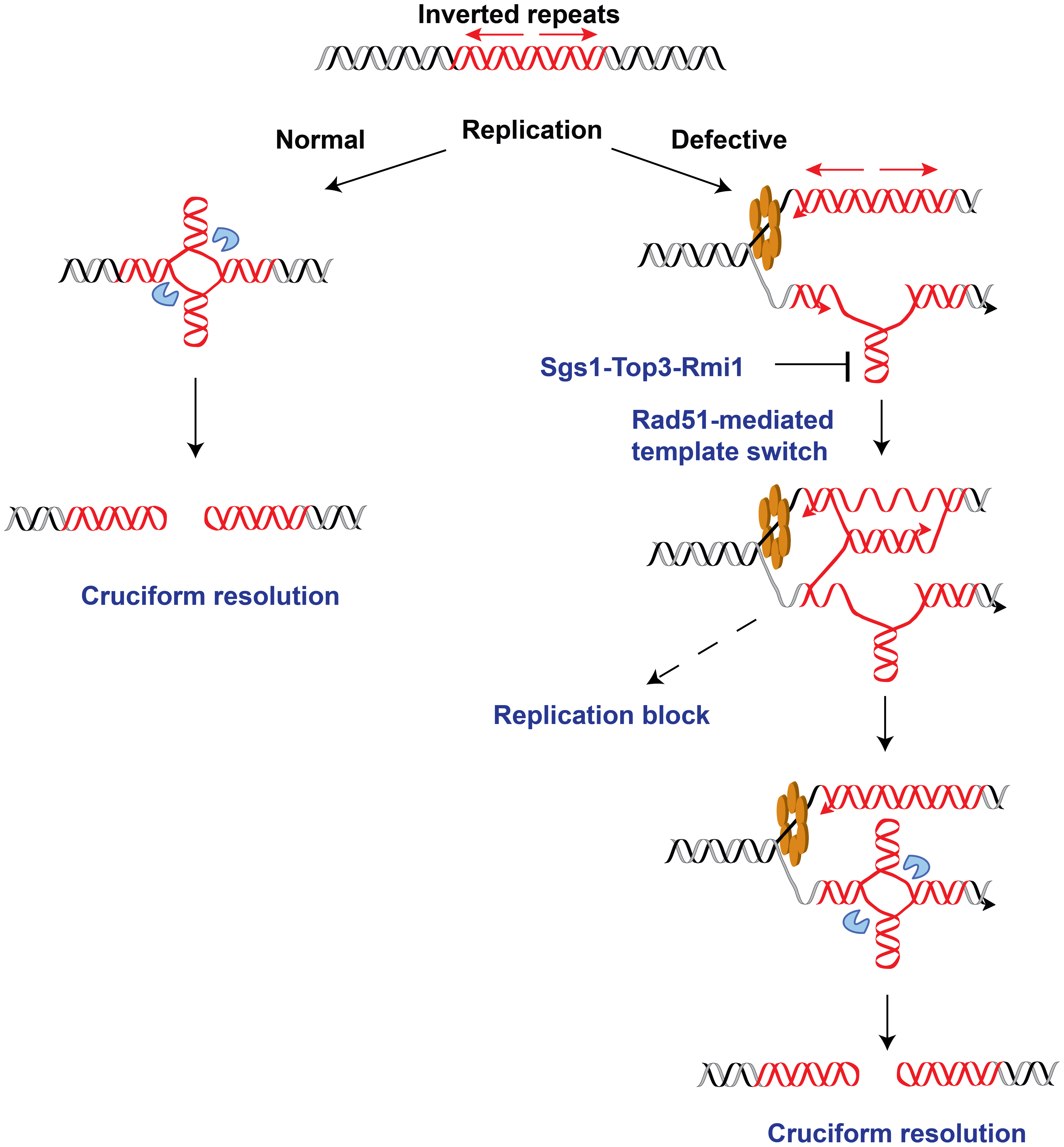 Model for <i>Alu</i>-IRs-mediated fragility under conditions of replication proficiency and deficiency.