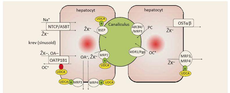 Zjednodušené schéma transportu žlučových kyselin hepatocyty. Upraveno podle [3,41]. Fig. 3. Simplified schema of bile acids transportation in the hepatocytes. Adapted from [3,41].