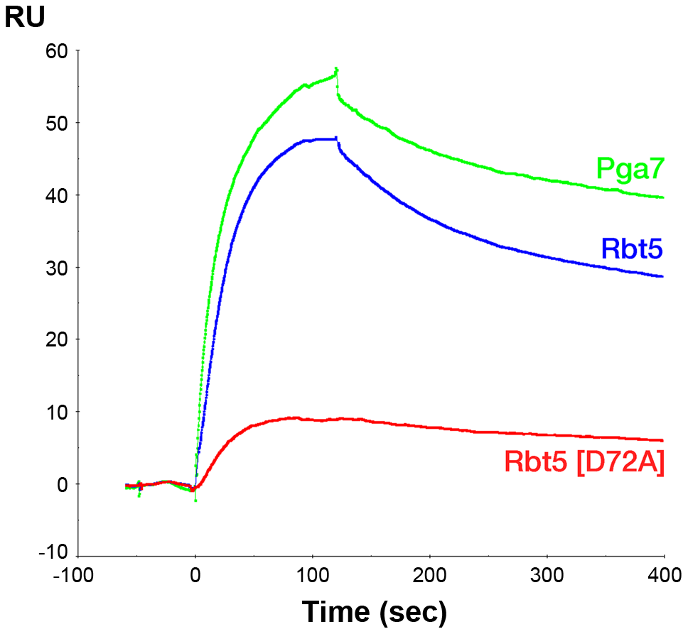 Holo-Pga7 interacts with apo-Rbt5 and with apo-Pga7.
