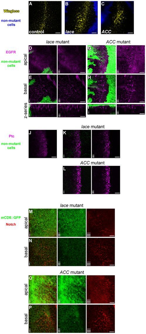Abnormal trafficking of Wingless, EGFR, Patched, and mCD8::GFP in <i>lace</i> and <i>ACC</i> mutant tissues.