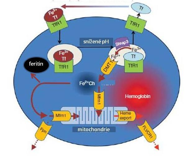 Metabolismus Fe v erytroidních prekurzorech (upraveno podle Ganze et al.).