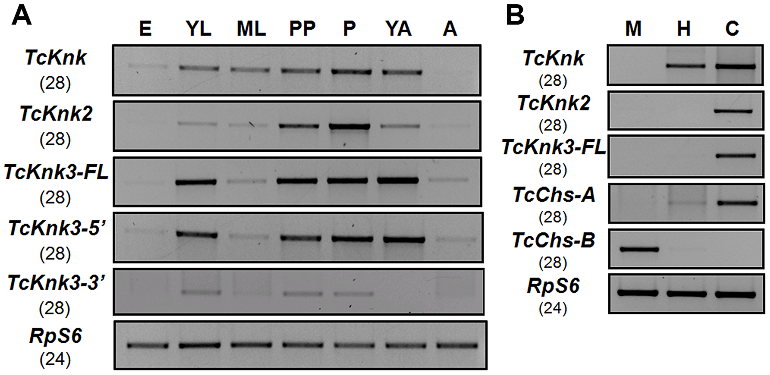 Developmental stage-specific and tissue-specific expression of <i>TcKnk</i>-family genes by RT-PCR.