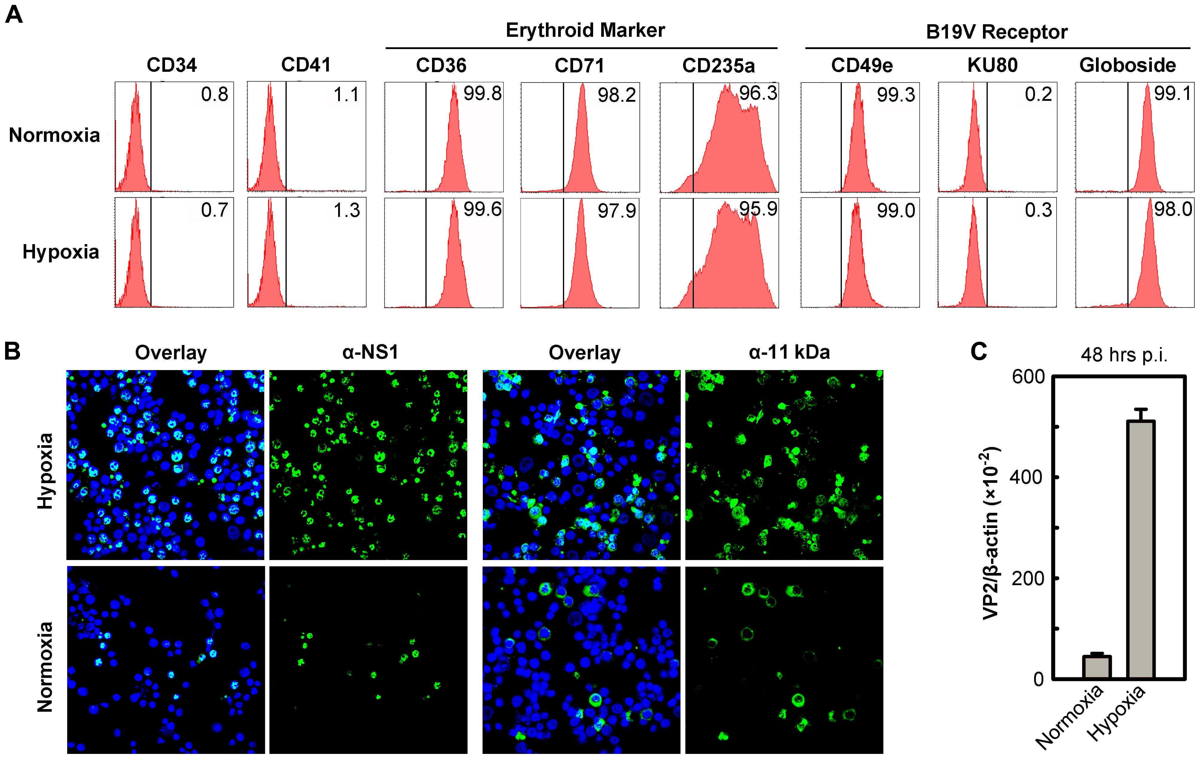 Support of B19V infection of CD36<sup>+</sup> EPCs under hypoxia <i>vs.</i> normoxia.