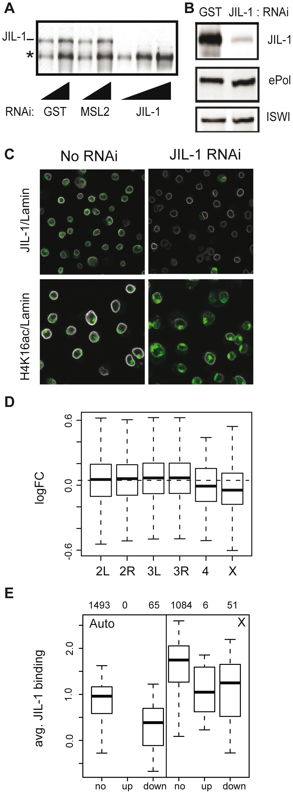 Effects of JIL-1 RNAi on gene expression and H4K16ac localization in SL2 cells.