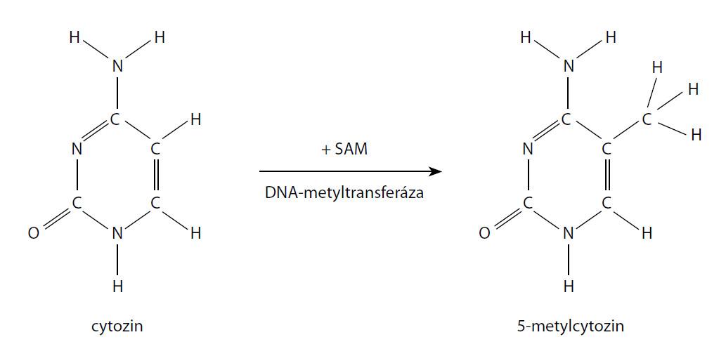 Lokální metylace CpG Fig. 1. CpG methylation