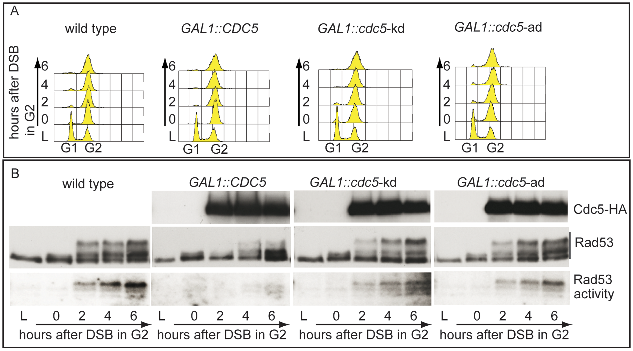 Overproduction of Cdc5 affects DSB–induced Rad53 phosphorylation and activity.