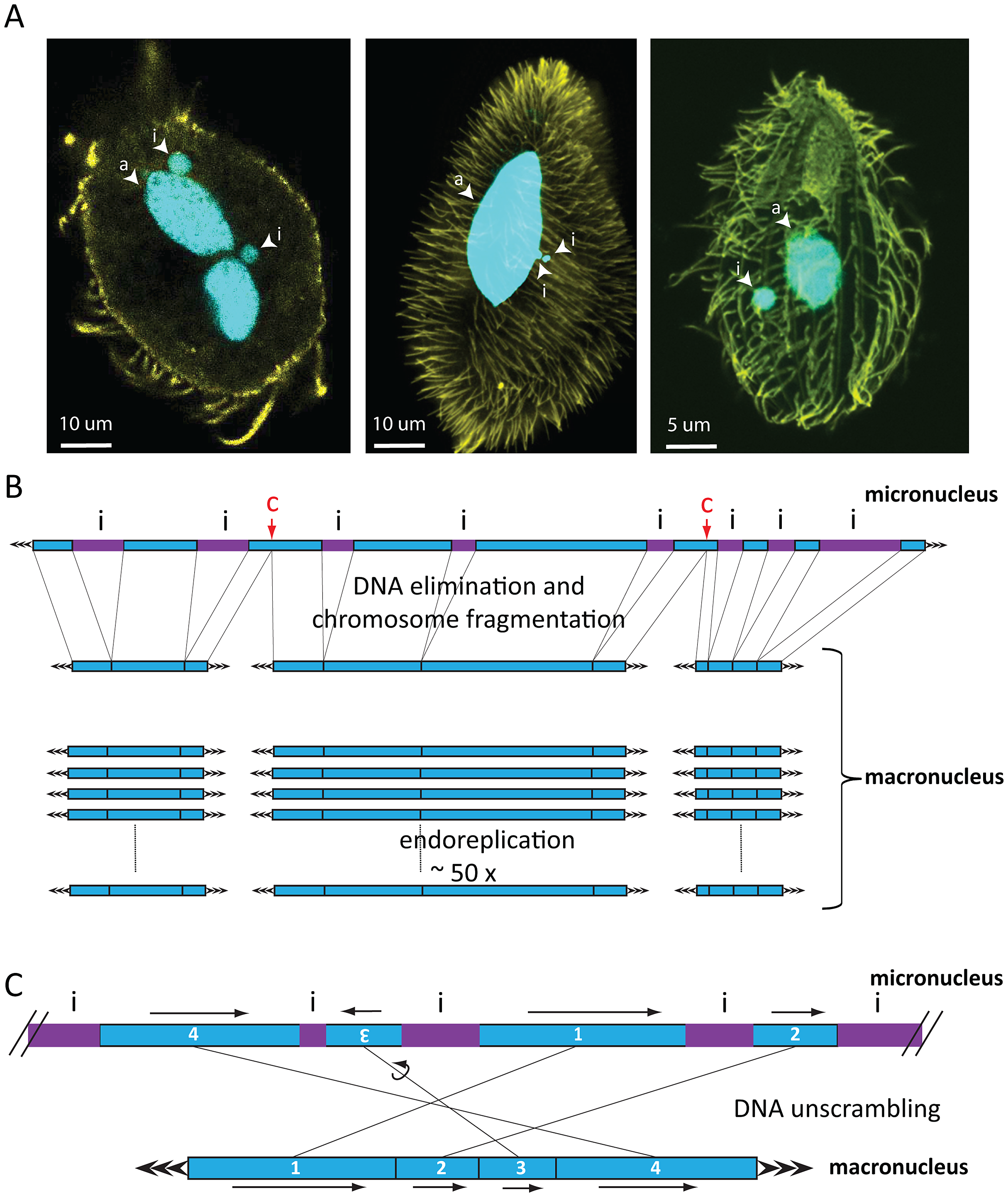 Nuclear dimorphism and genome rearrangements in ciliates.