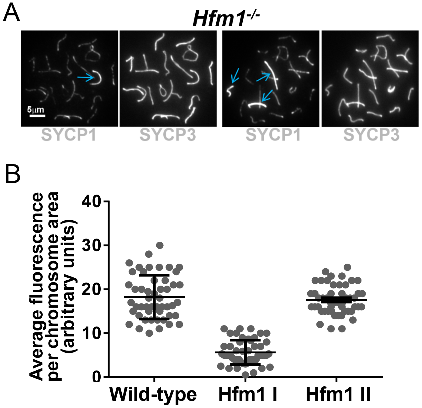 <i>Hfm1<sup>−/−</sup></i> spermatocytes contain a small number of bivalents with wild-type levels of SYCP1 staining and uninterrupted synapsis.