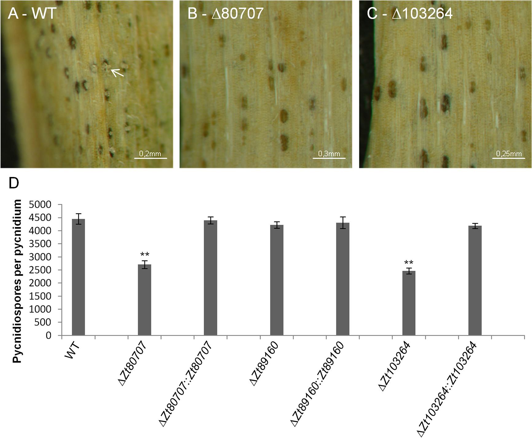 Mutant IPO323Δ<i>Zt80707</i> and IPO323Δ<i>Zt103264</i> produce fewer pycnidiospores per pycnidium.