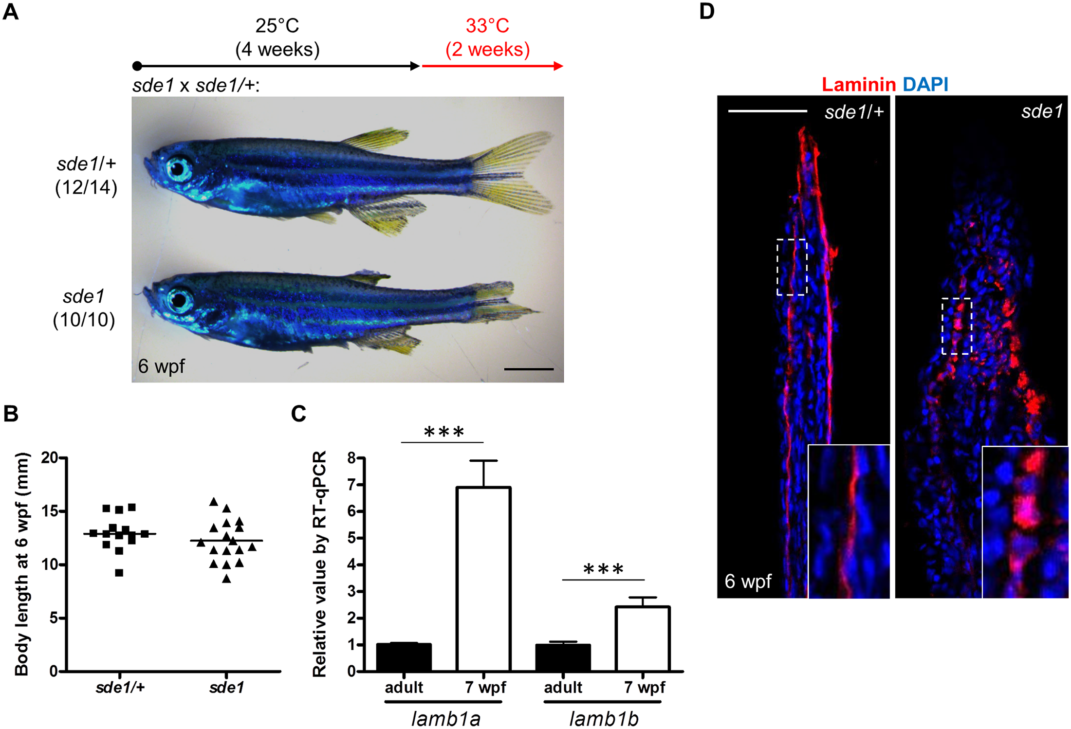 <i>lamb1a</i> is required for juvenile fin growth but not body growth.