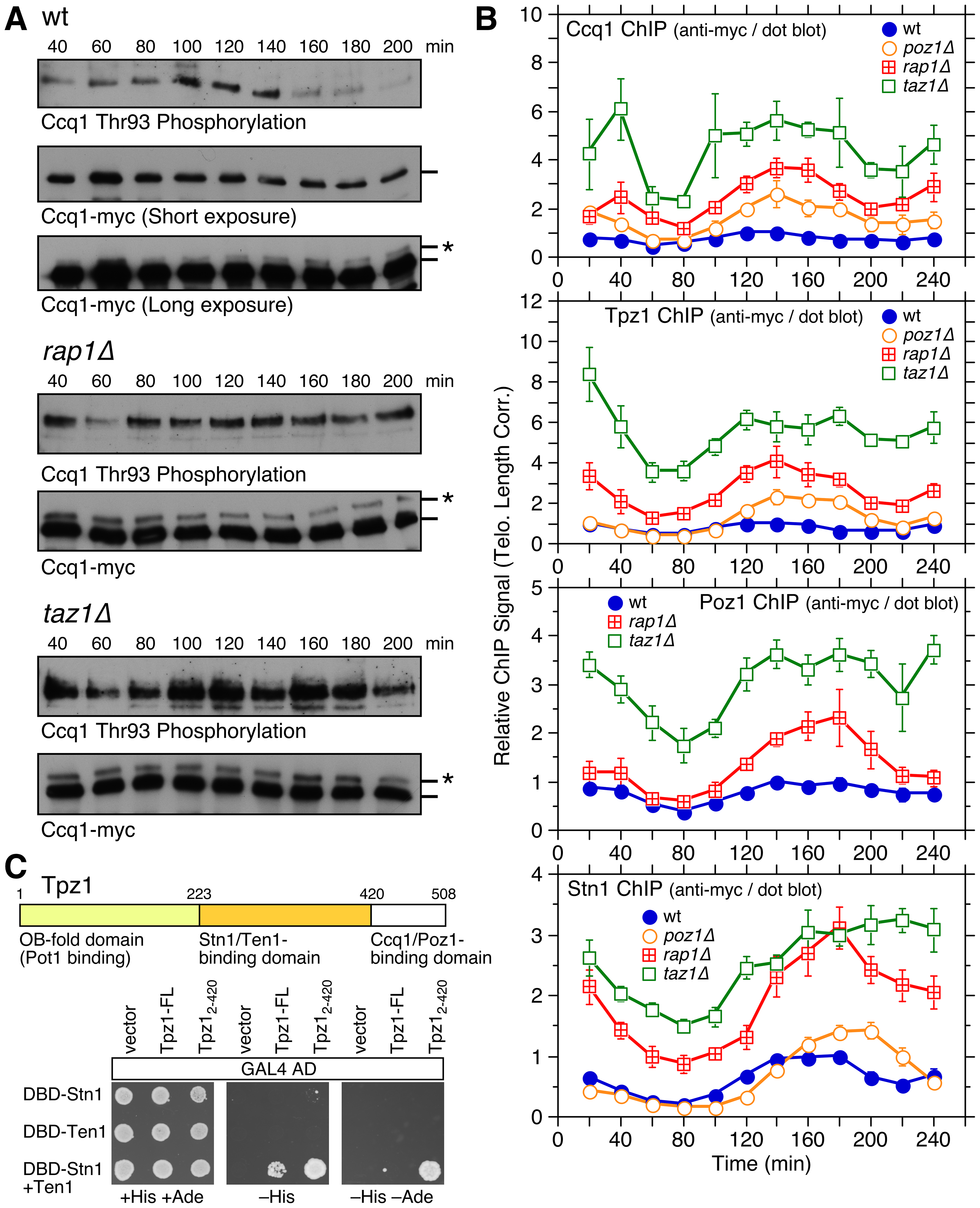 Cell cycle regulation of Ccq1 phosphorylation and cell cycle ChIP assays to monitor telomere association of Stn1 and shelterin subunits Ccq1, Tpz1, and Poz1.