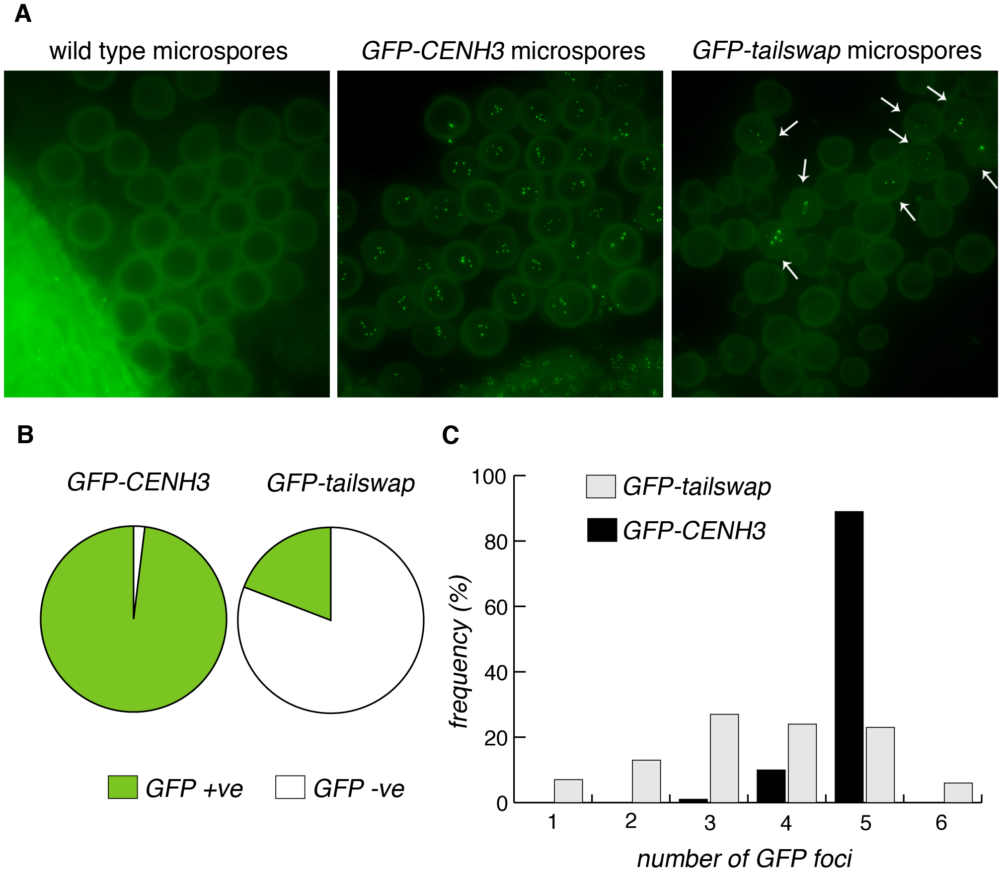 GFP-tailswap protein reloads onto centromeres after meiosis, when mitosis resumes.
