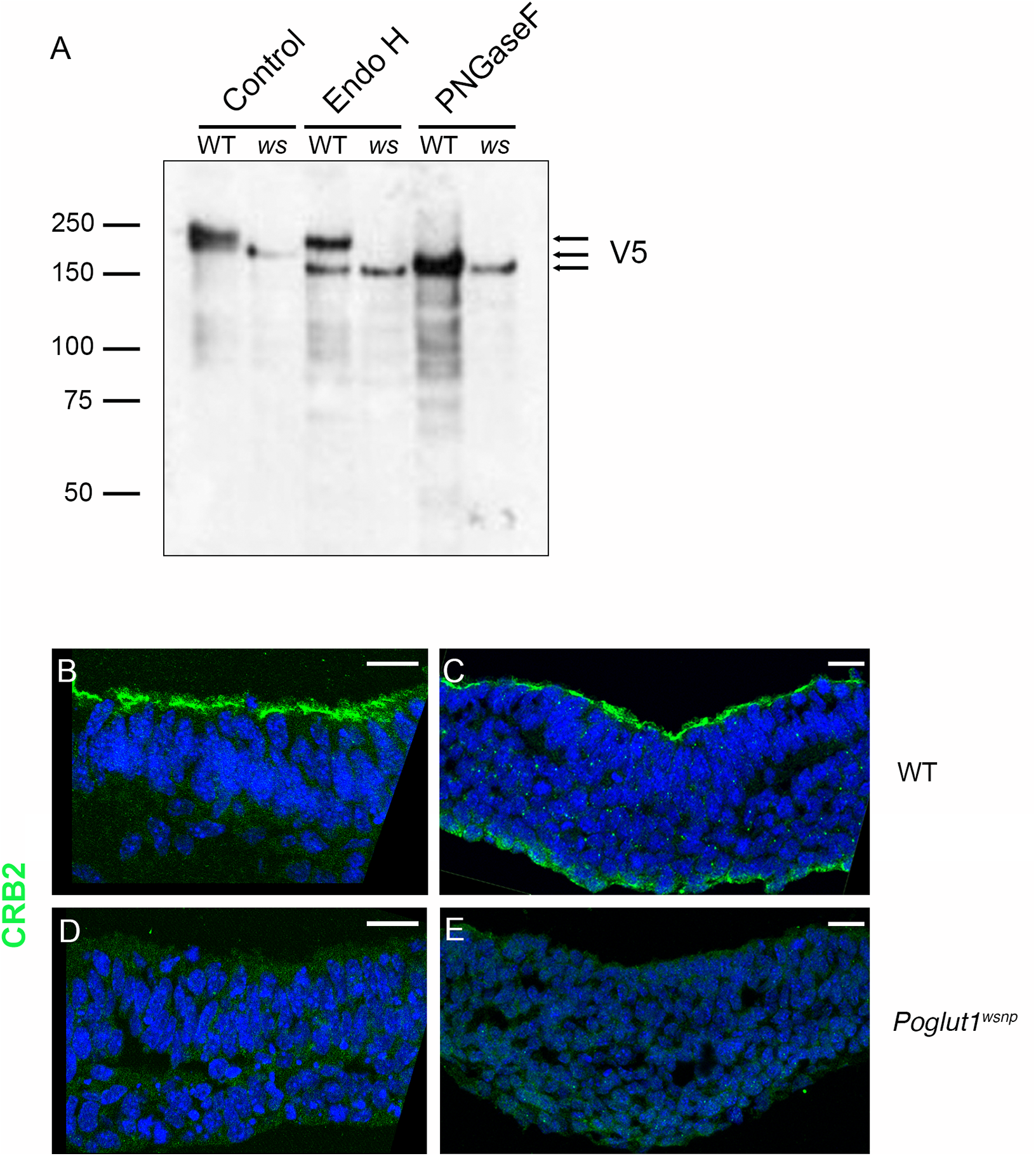 POGLUT1 is required for cell-surface localization of CRUMBS2.