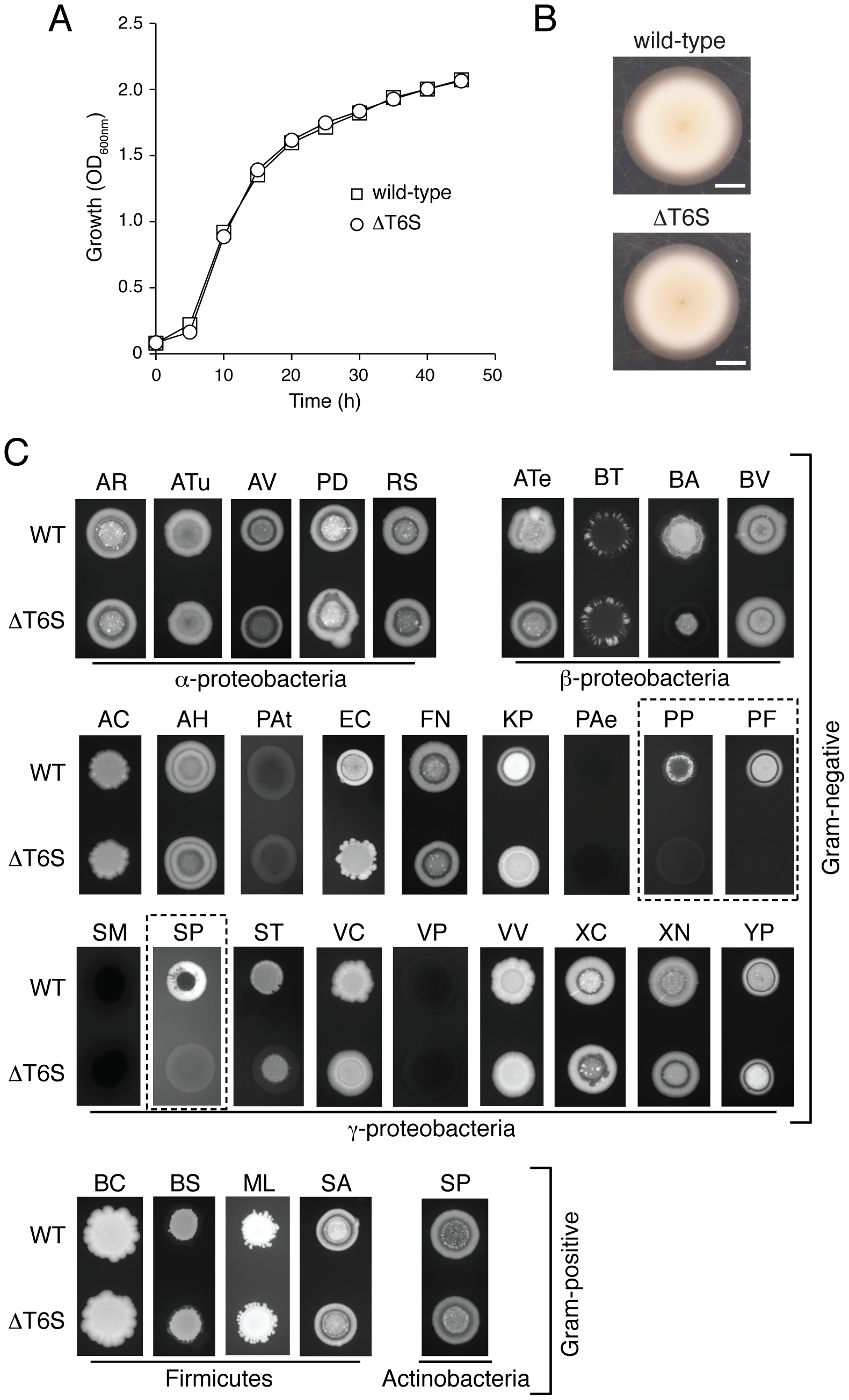 T6S plays a role in the fitness of <i>B. thai</i> in growth competition assays with other bacteria.