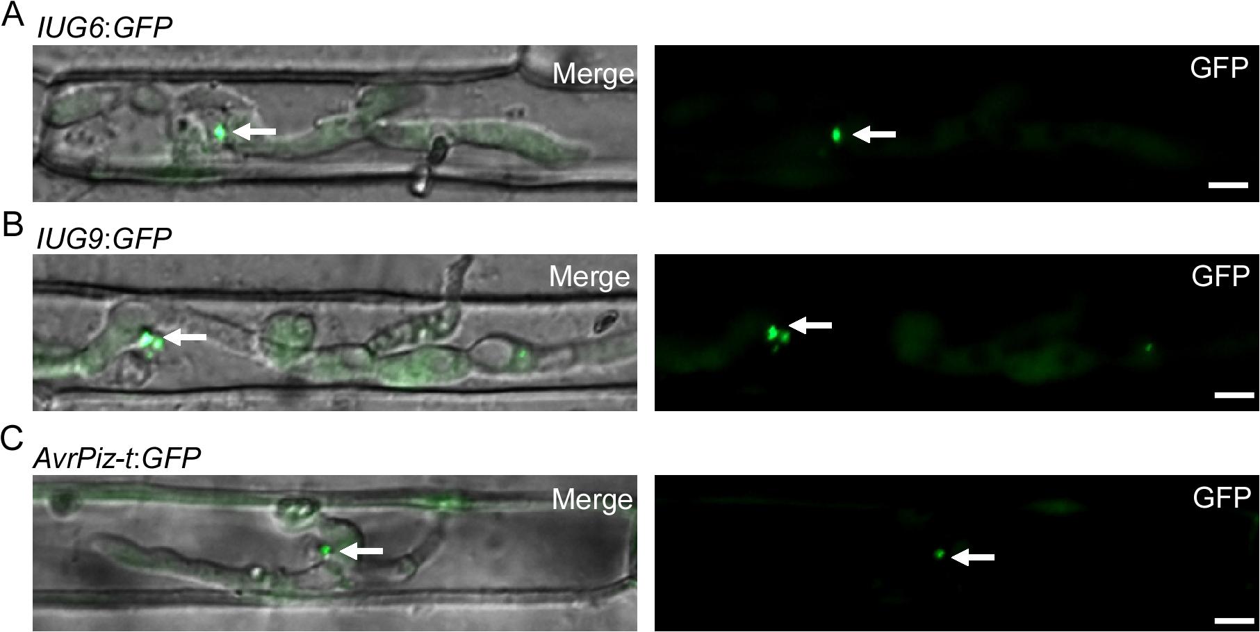 Iug6 and Iug9 proteins accumulate at BICs in sheath epidermal cells.