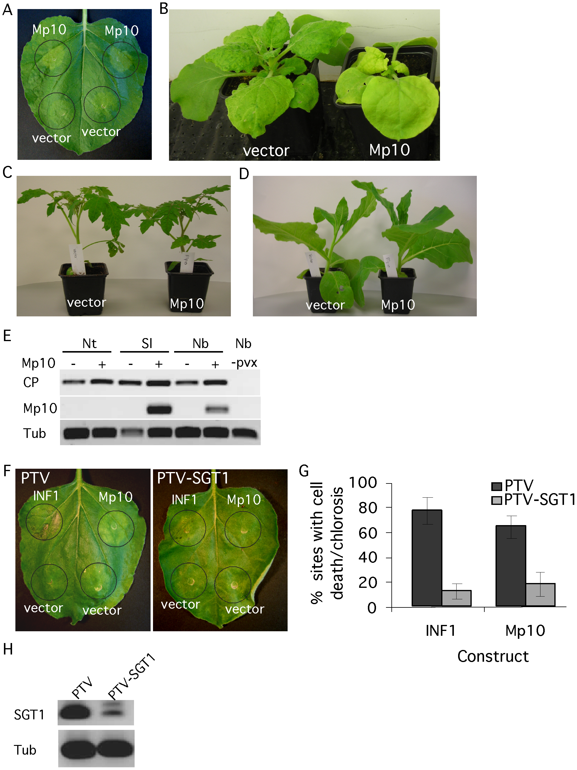 The candidate effector Mp10 induces chlorosis specifically in <i>N. benthamiana</i>.