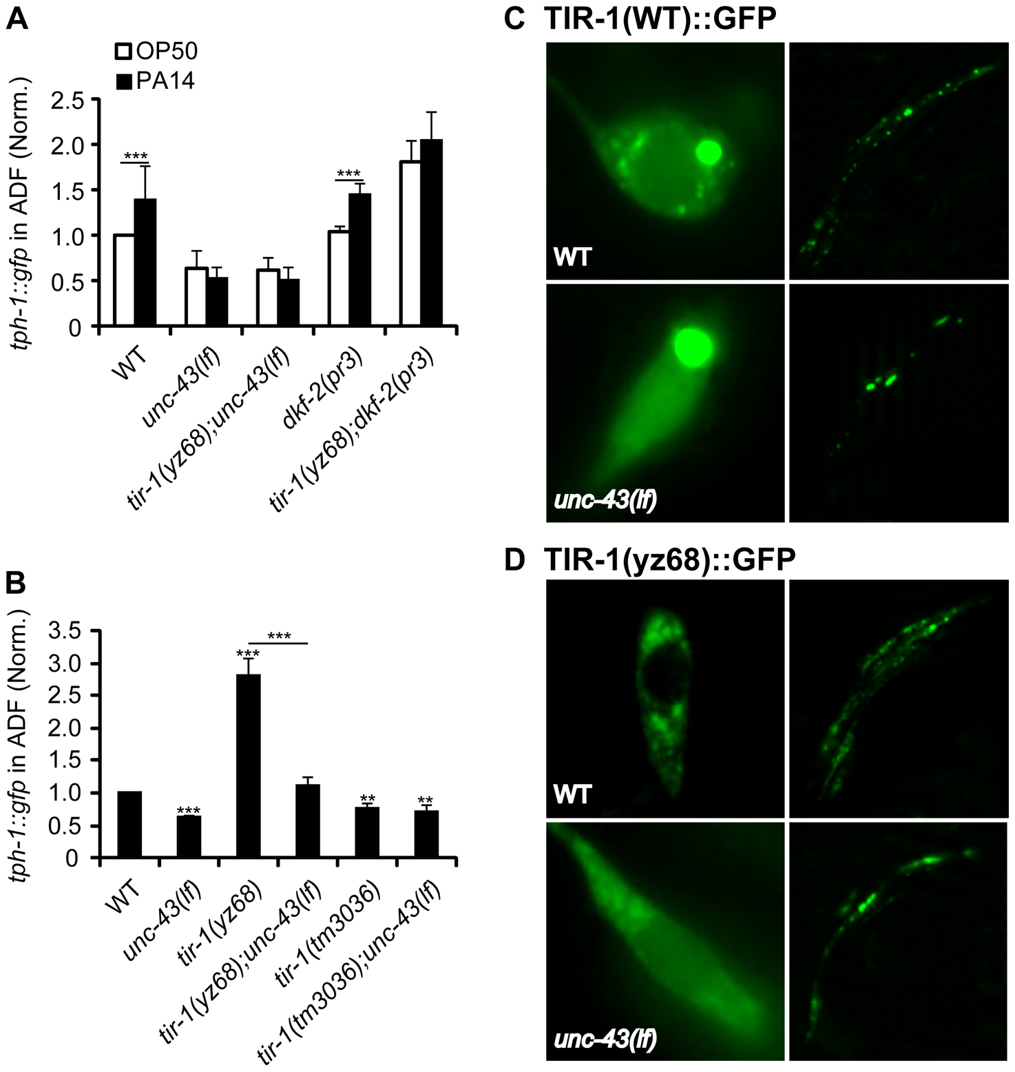 Regulation of TIR-1 signaling in ADF neurons.