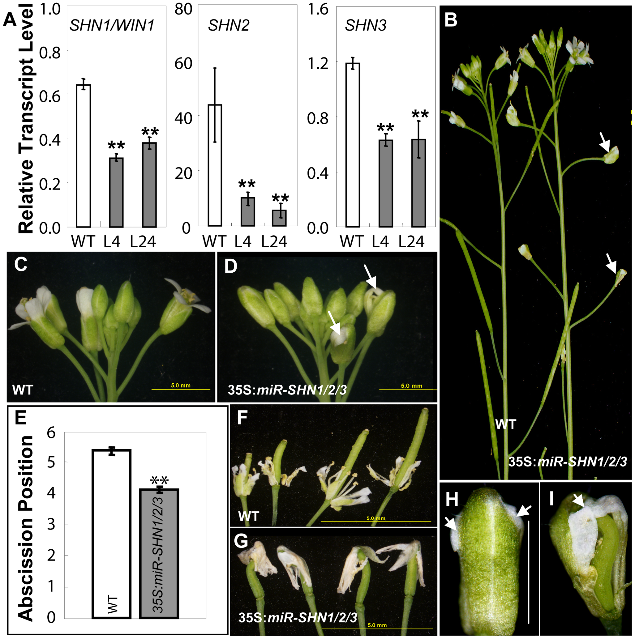 Co-silencing of the three <i>SHN</i> clade genes impacts reproductive organ morphology and cell type–specific characteristics.