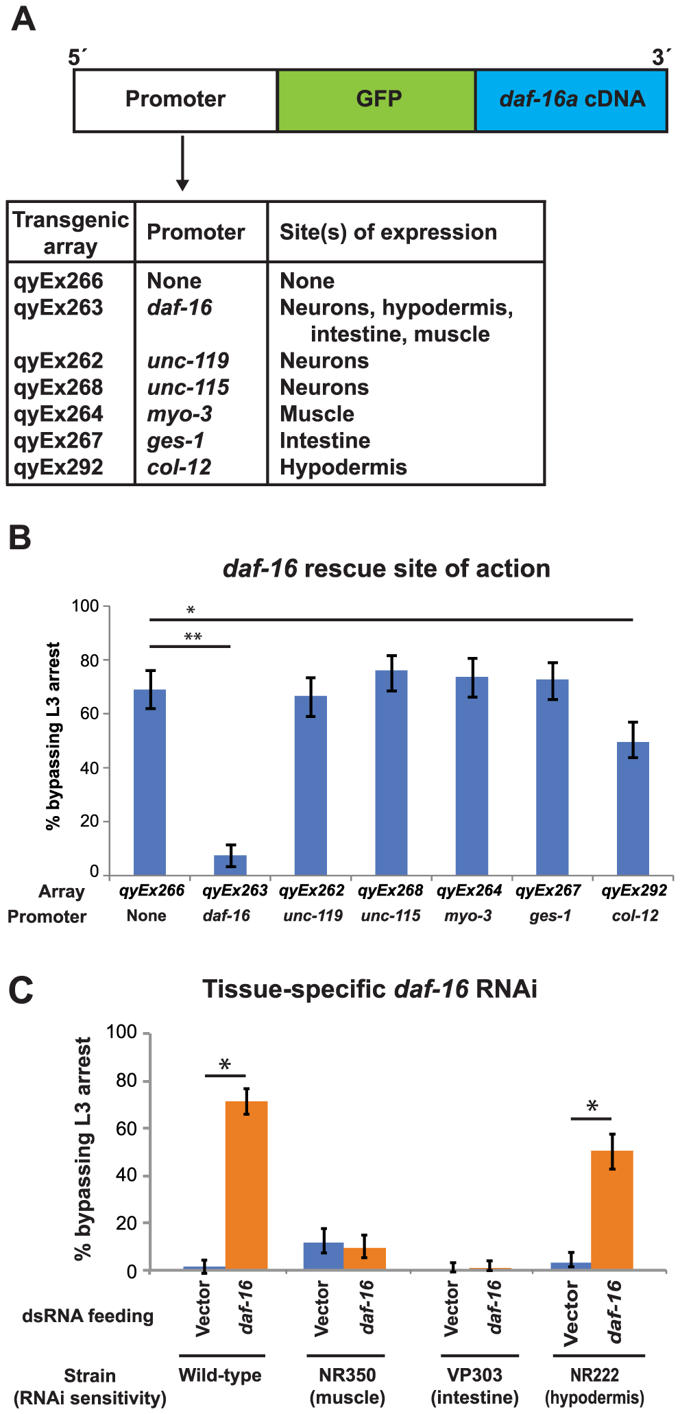 Expression of DAF-16 in the hypodermis regulates the L3 nutritional response.