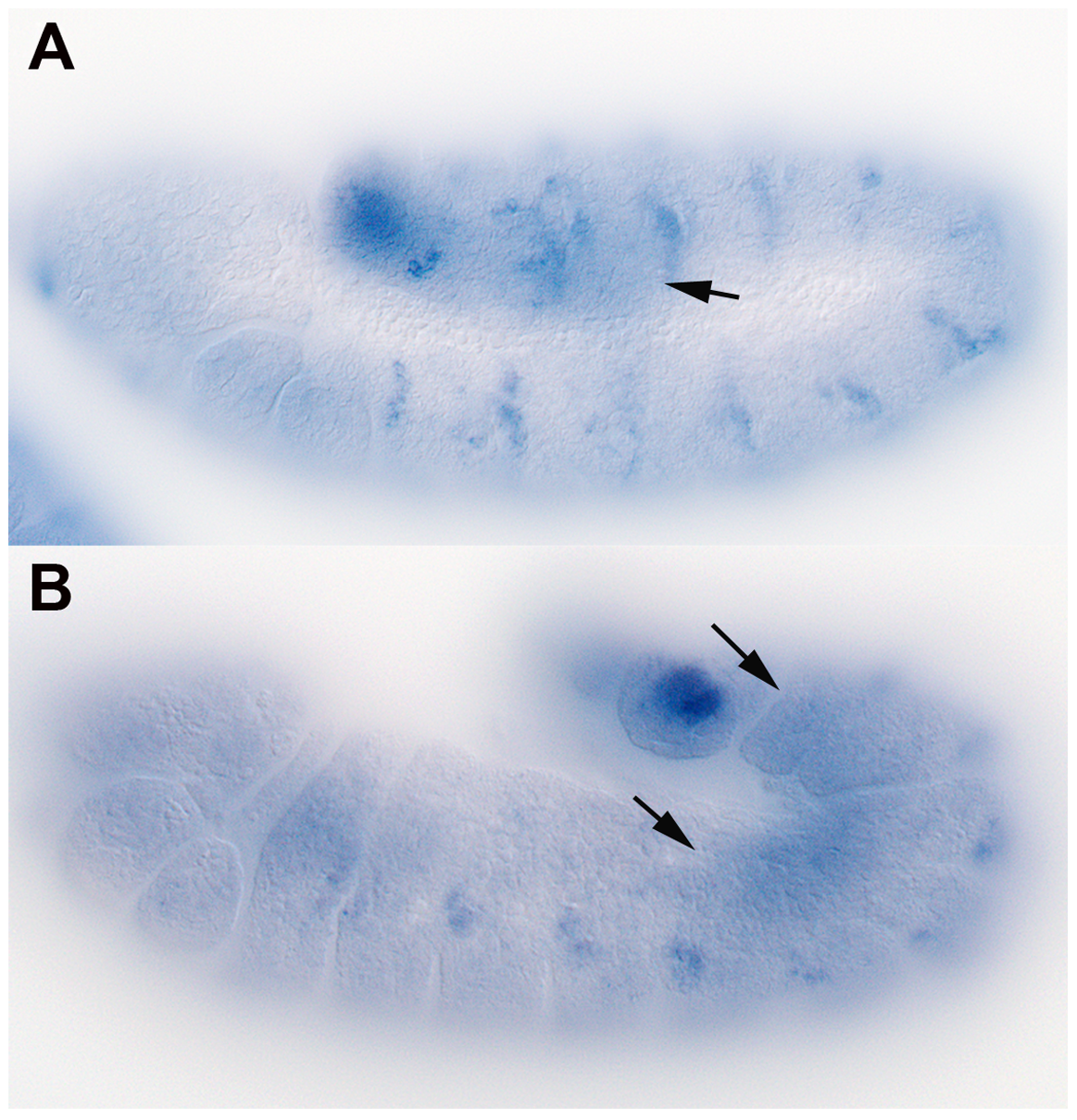 <i>shf</i> is expressed in the embryonic mesoderm.