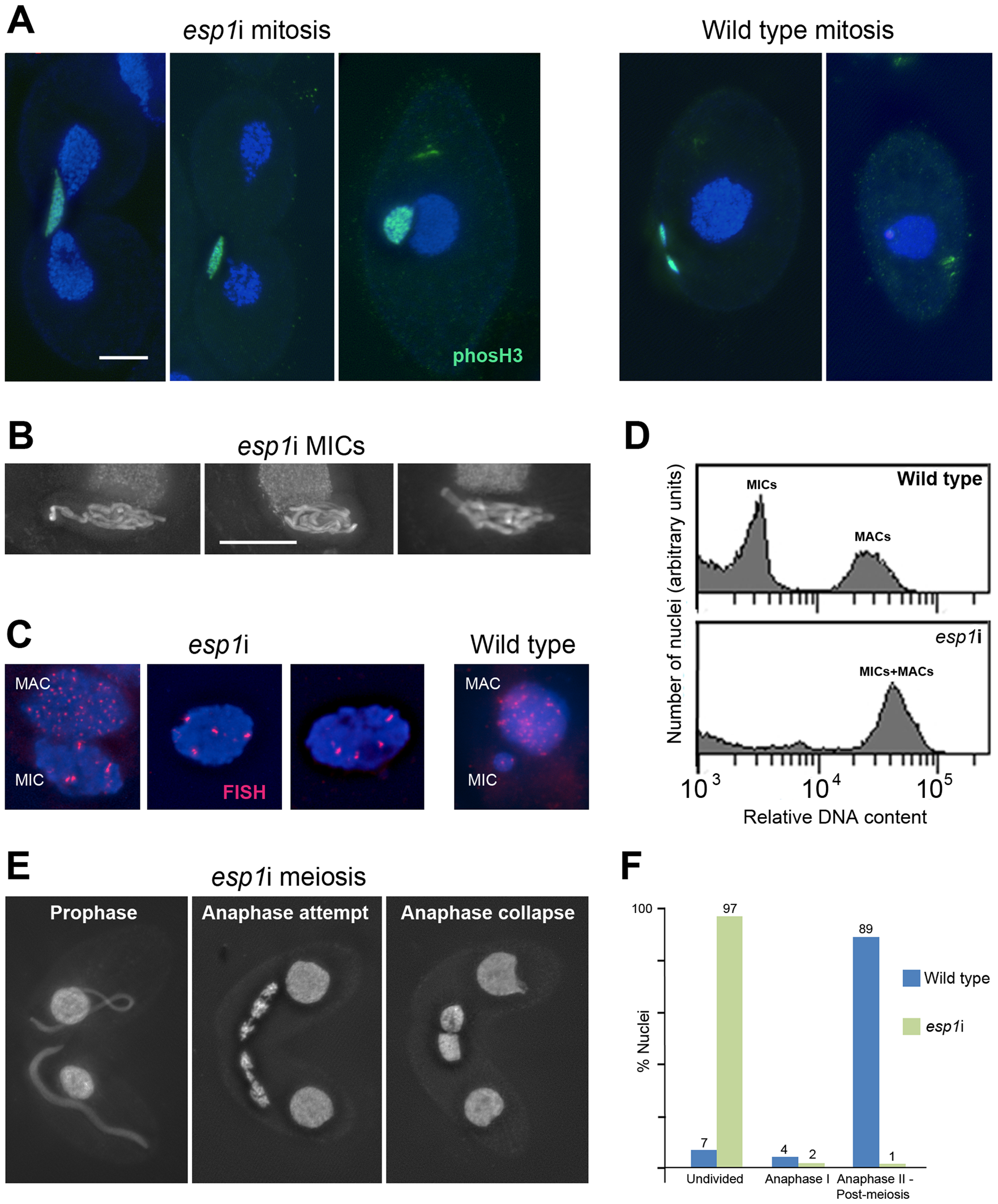 RNAi depletion of separase Esp1p prevents mitotic and meiotic division and causes MIC polyploidization.