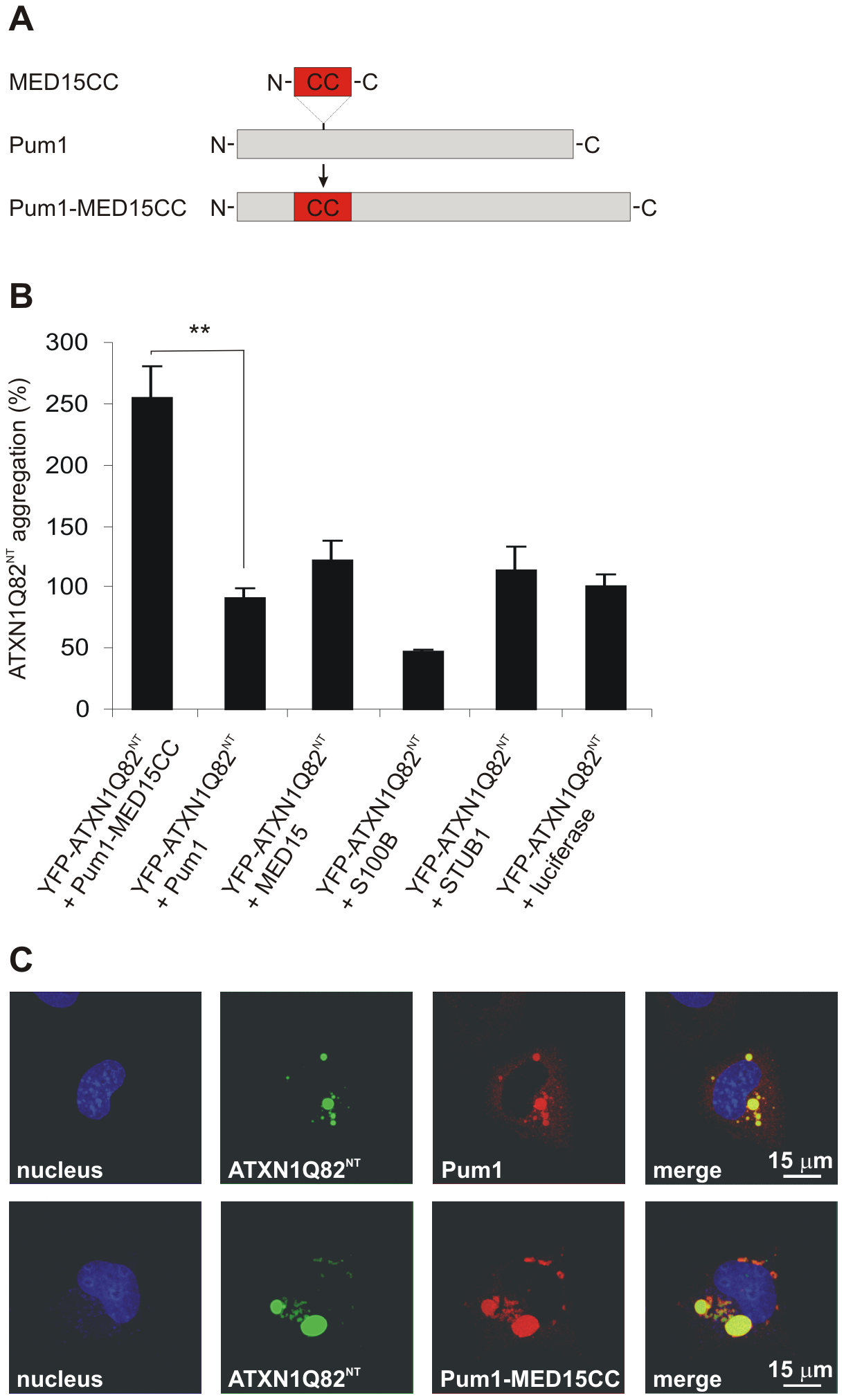 A hybrid Pum1 fusion protein with a MED15 CC domain is a potent enhancer of mutant ATXN1 aggregation in cell-based assays.