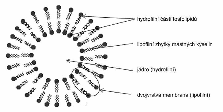 Struktura liposomu