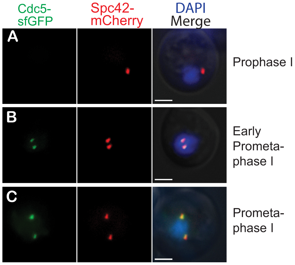 Cdc5-sfGFP is present prior to meiotic commitment.