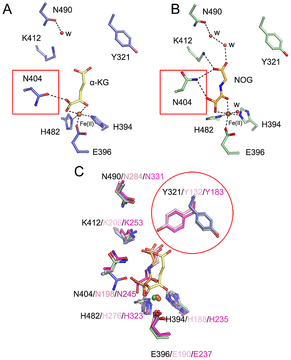 Conformational shifts of α-KG/NOG interacting residues of c-JMJ703 and other members of JMJD2A.