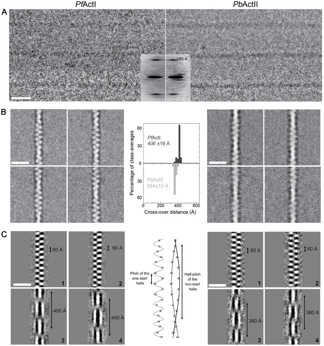 Cryo-EM image analysis of actin I and II.