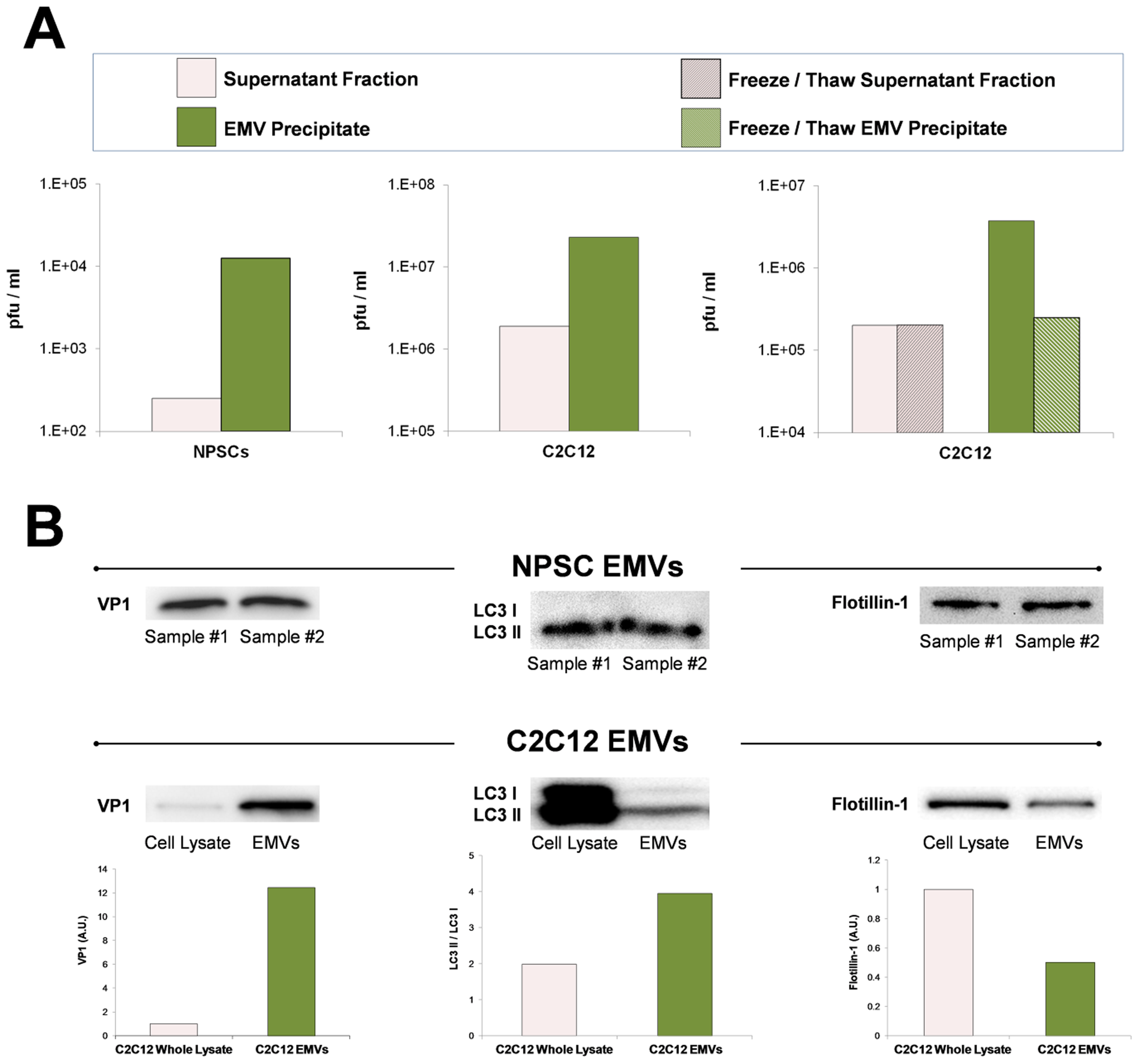 Purified EMVs isolated from infected progenitor cells expressed VP1, LC3 II and flotillin-1 proteins.