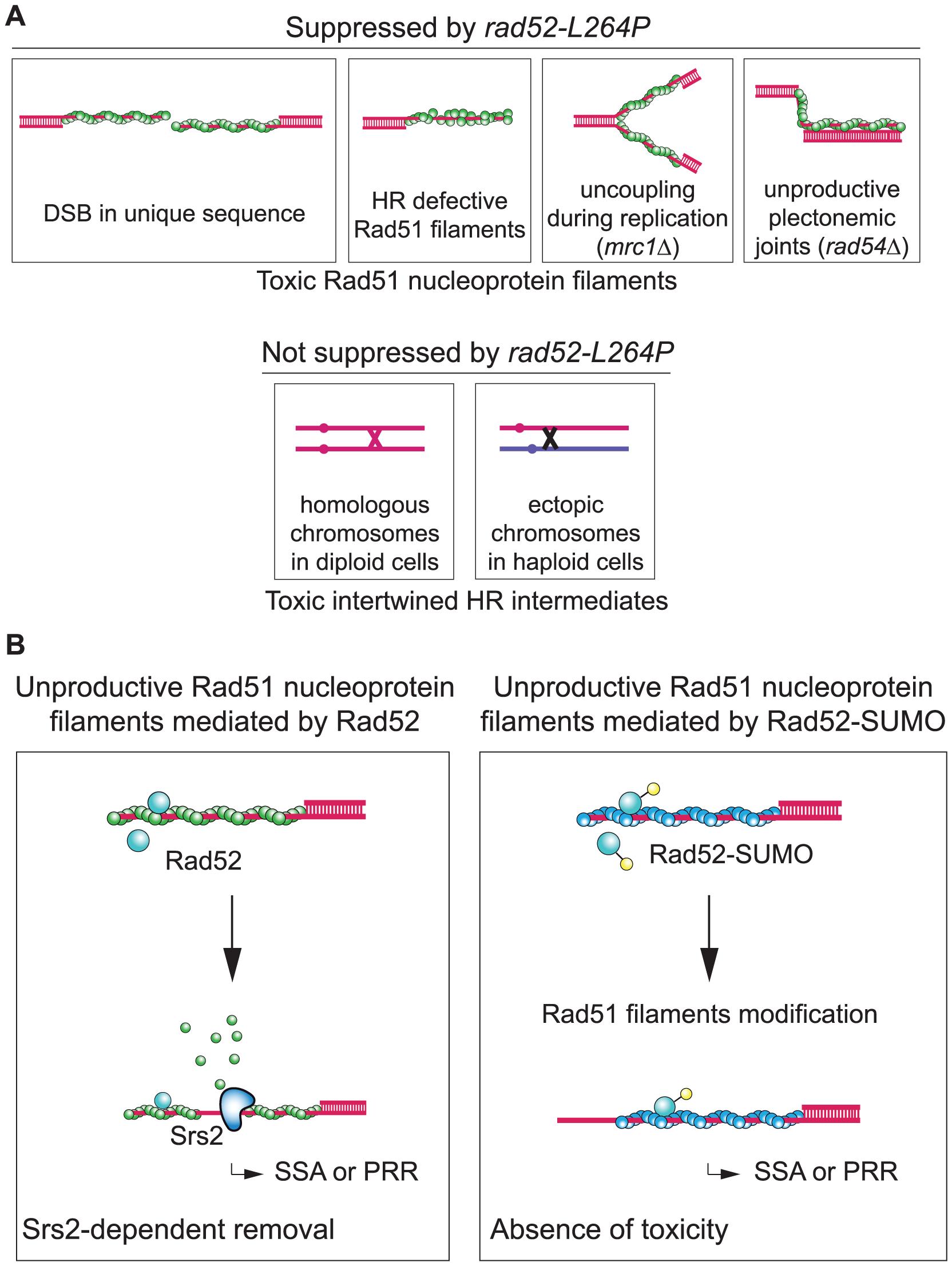 Rad52 sumoylation prevents the toxicity of unproductive Rad51 filaments.