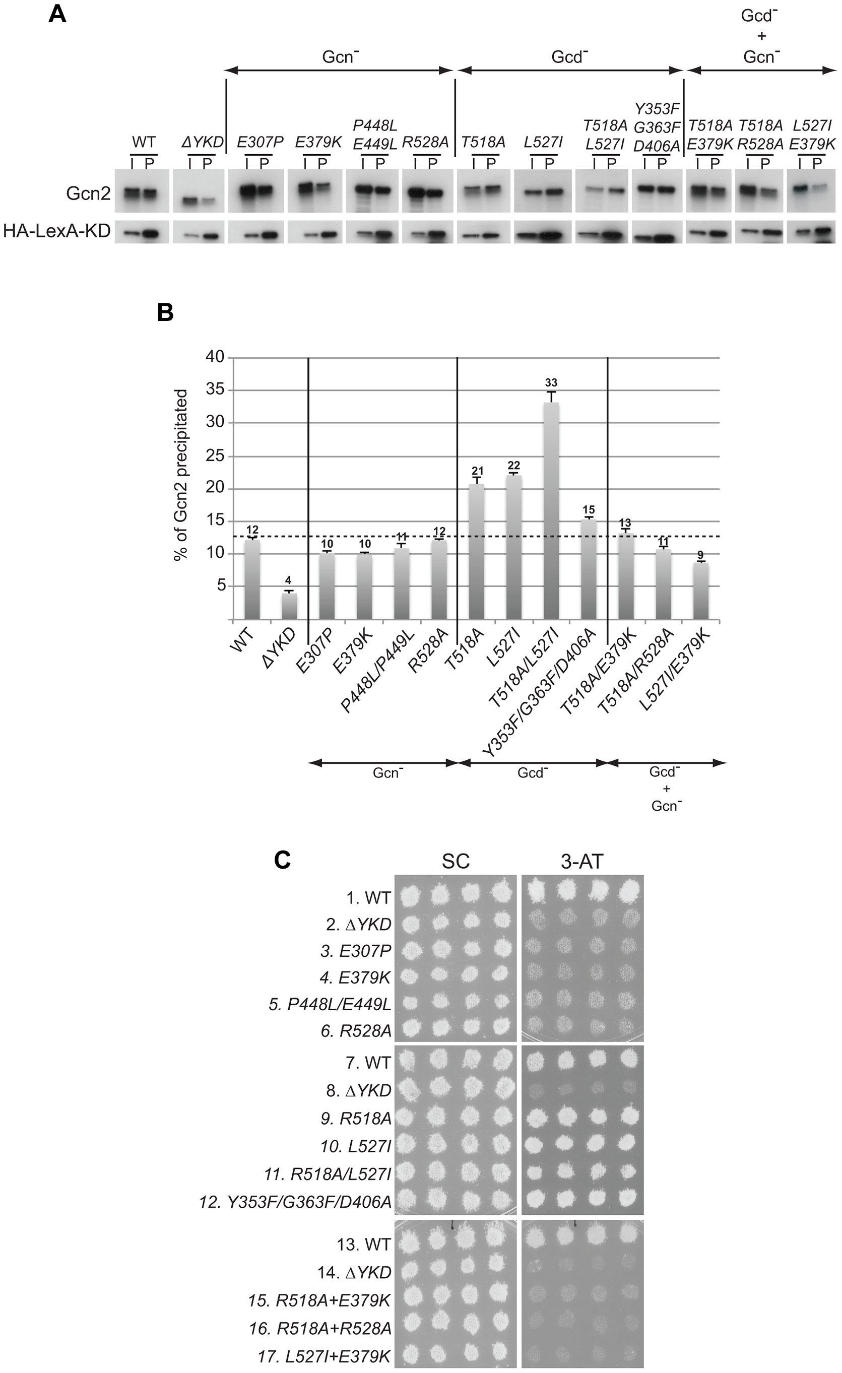 Certain Gcd<sup>−</sup> substitutions in the YKD enhance coimmunoprecipitation of Gcn2 with LexA-HA-KD from yeast extracts.