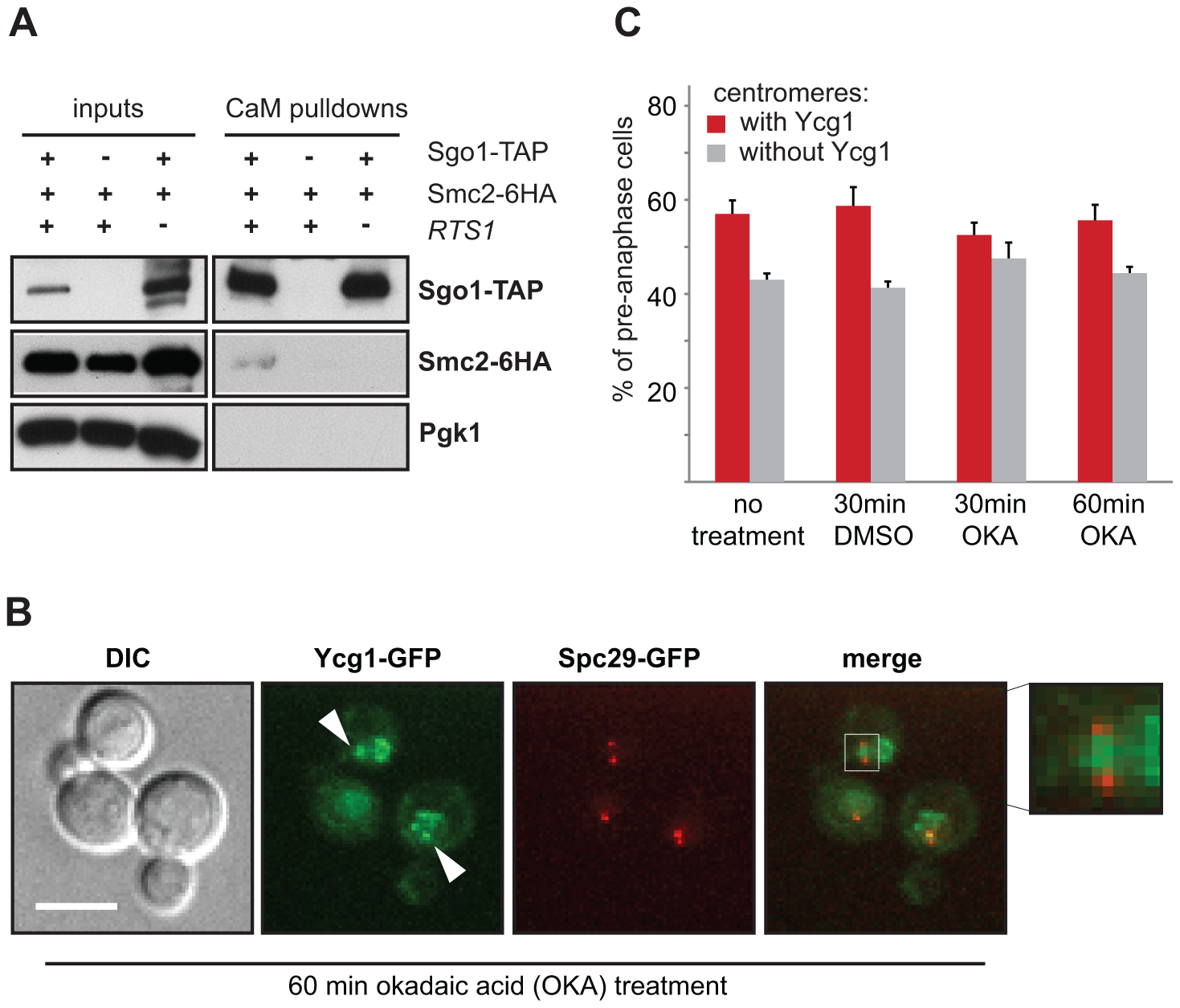 Centromeric localization of condensin does not require PP2A's phosphatase activity.