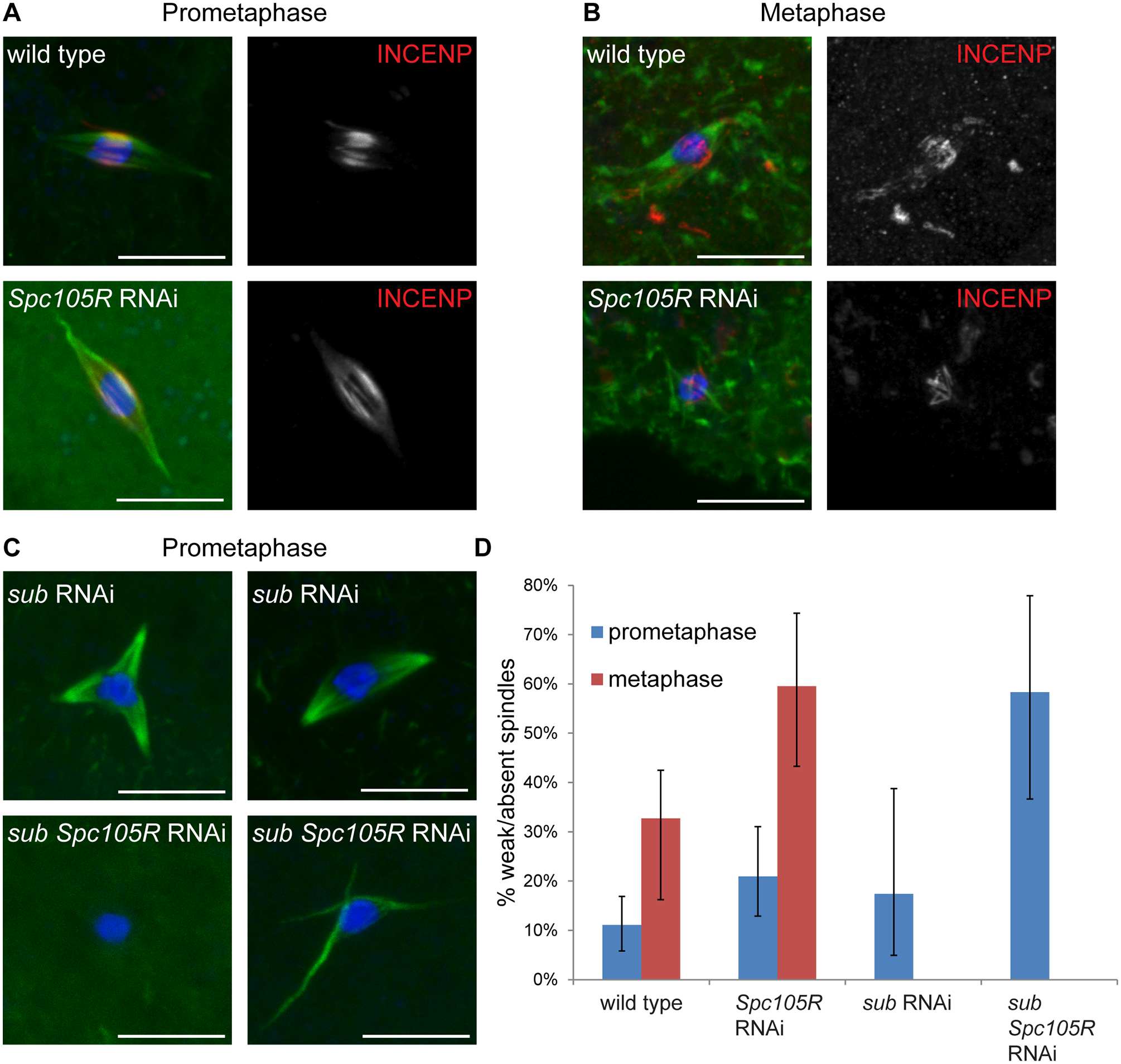 Prometaphase spindle stability depends on both kinetochore and central spindle components in oocytes.