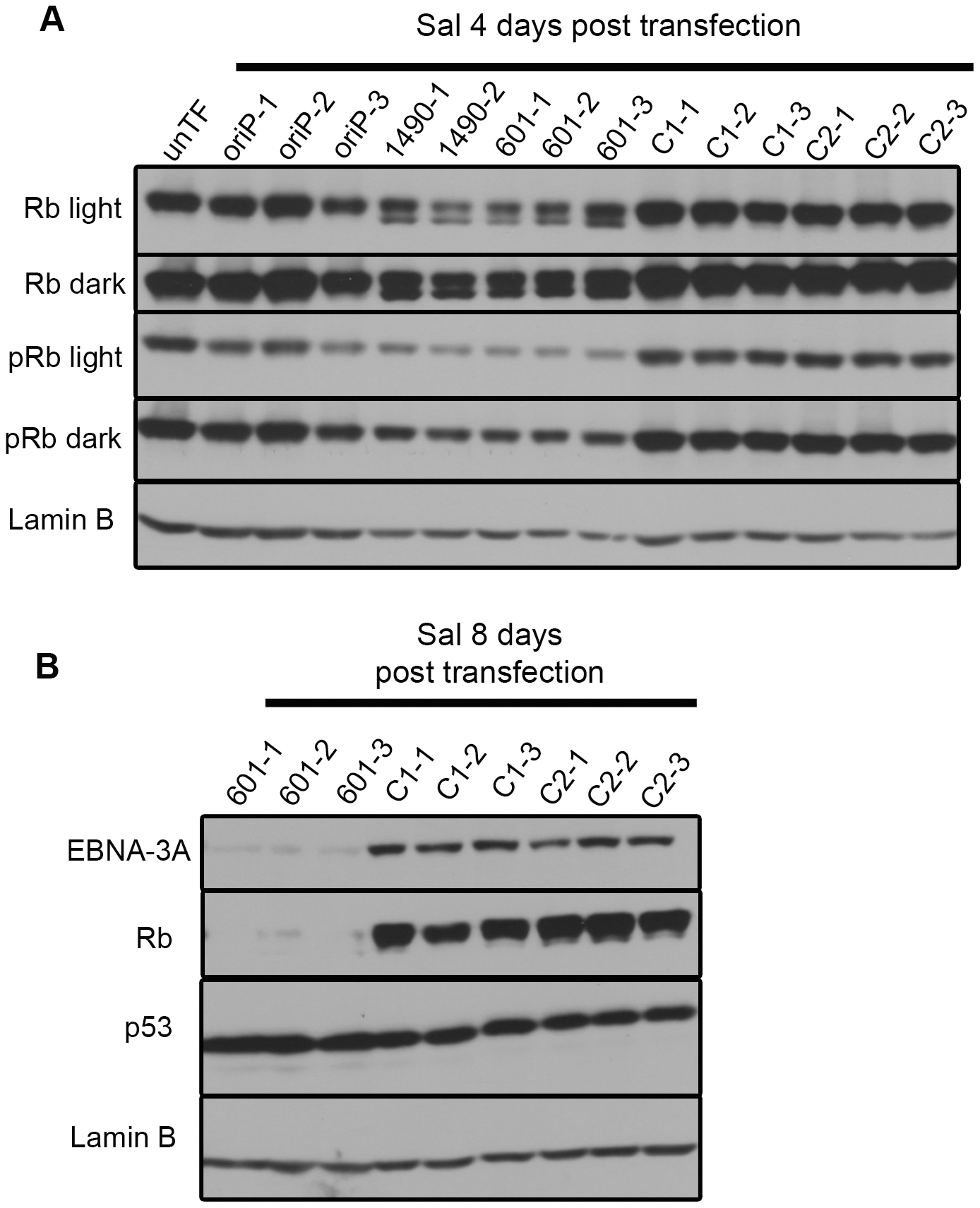 EBNA-3A supports maintenance of Rb hyperphosphorylation and stabilization in Wp-R latency.