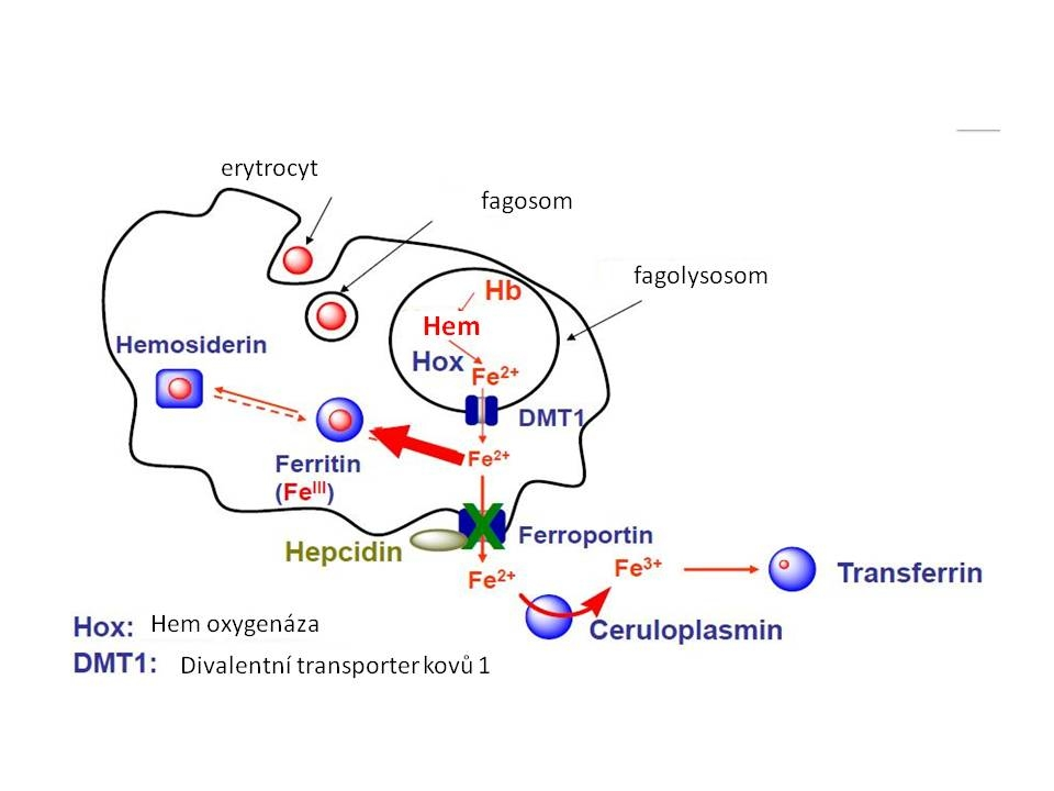 Metabolismus Fe v makrofázích.