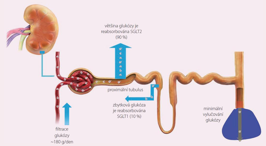 Regulace glukózy v ledvinách.