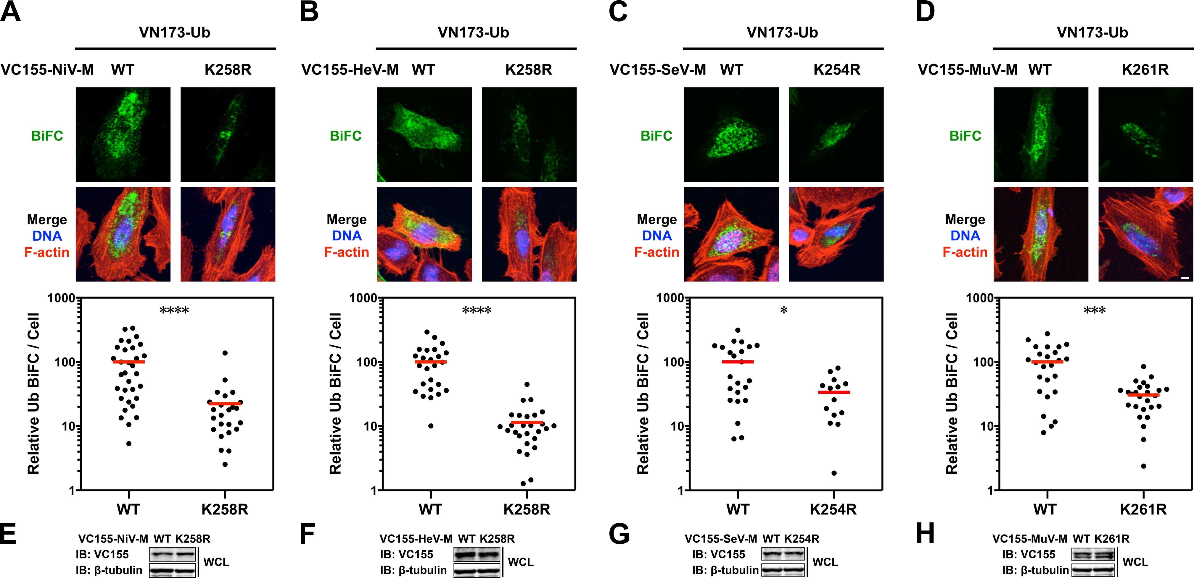 Quantitative BiFC analysis of Nipah, Hendra, Sendai and Mumps virus matrix ubiquitination regulated by a lysine within the NLS<sub>bp</sub>.