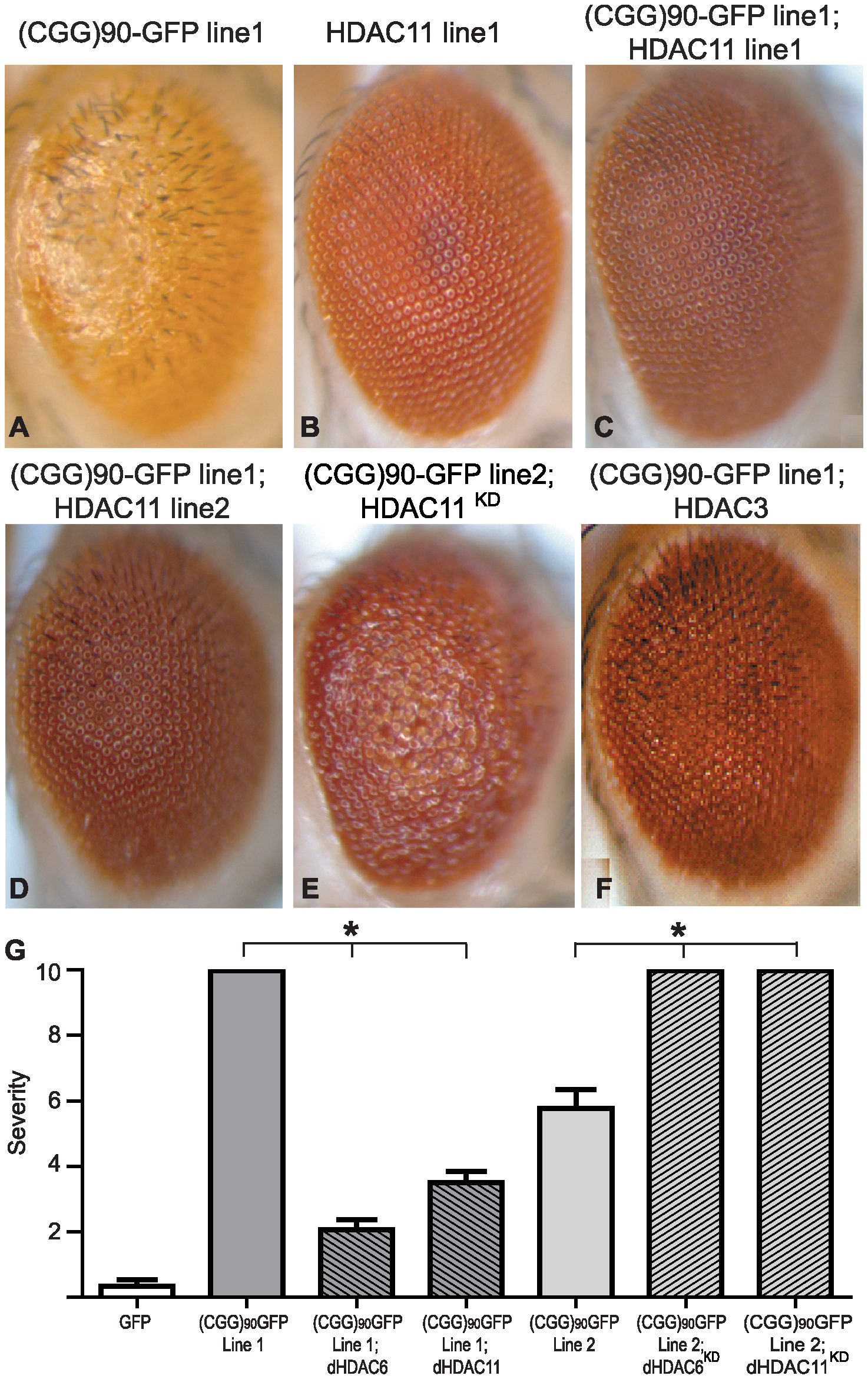 HDAC3 and HDAC11 also suppress (CGG)<sub>90</sub>-eGFP mRNA–induced neurodegeneration.